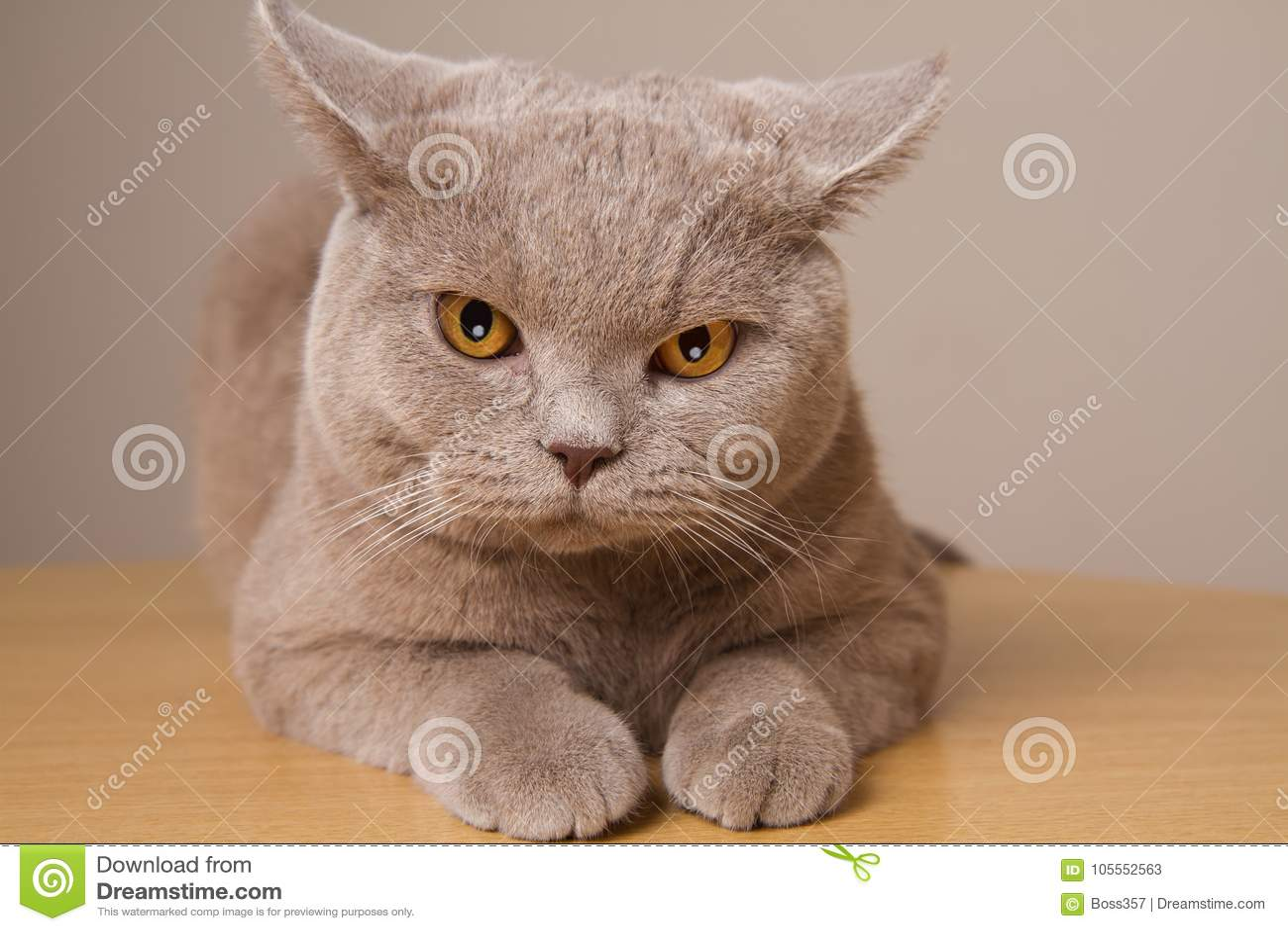 Primo piano infelice del gatto britannico dello shorthair, esaminante direttamente la macchina fotografica le sue orecchie nelle