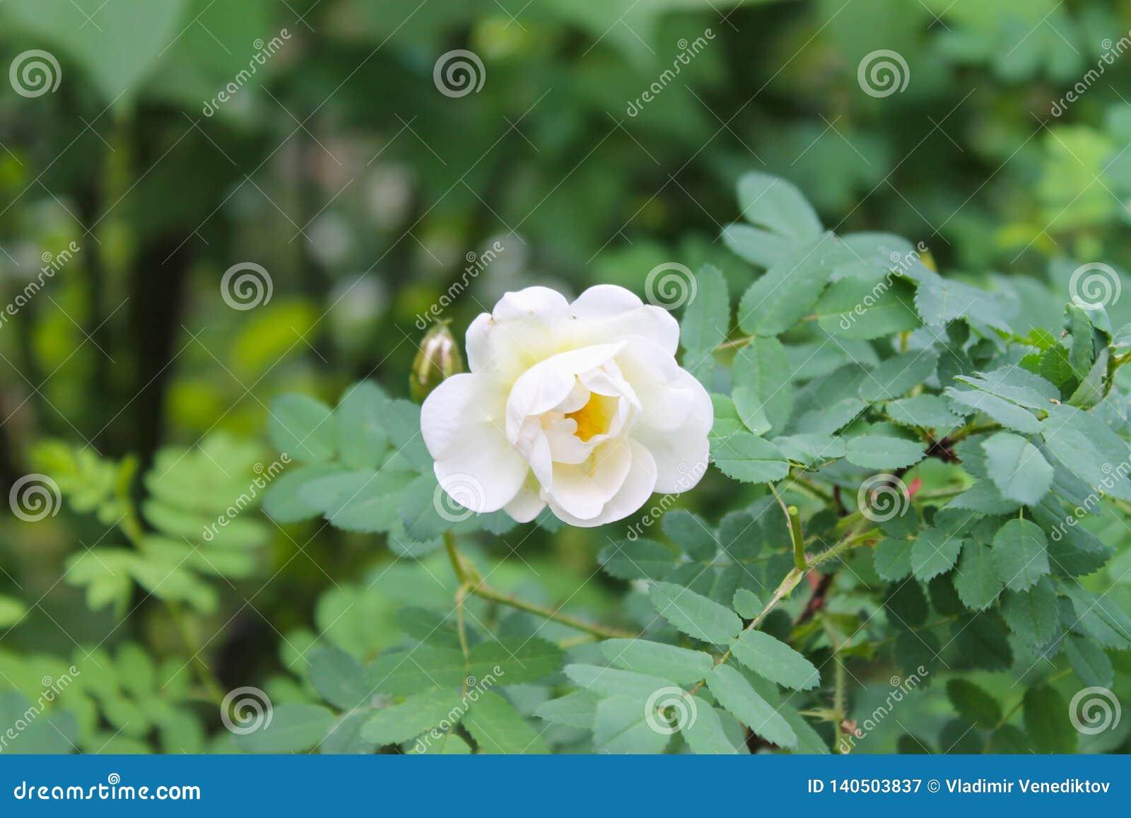 Primo piano rosa bianco del fiore come fondo o cartolina d auguri Sfondo naturale