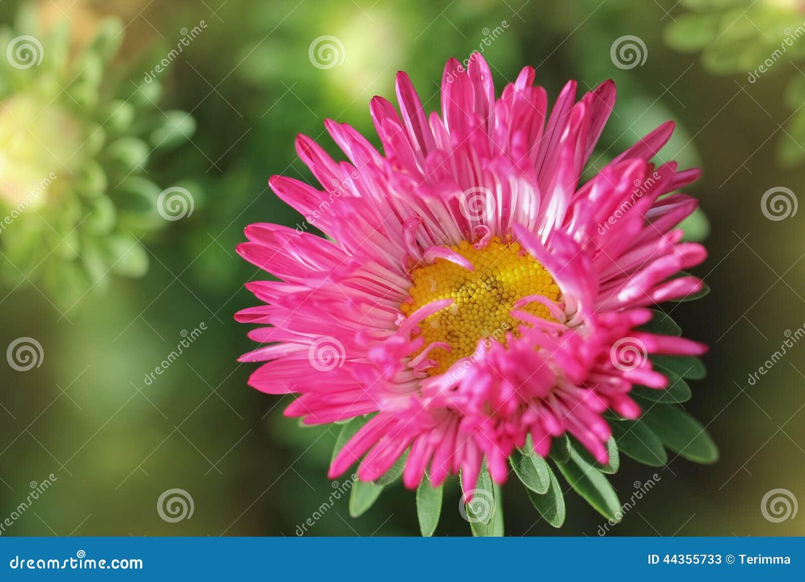 Primo piano rosa dell aster