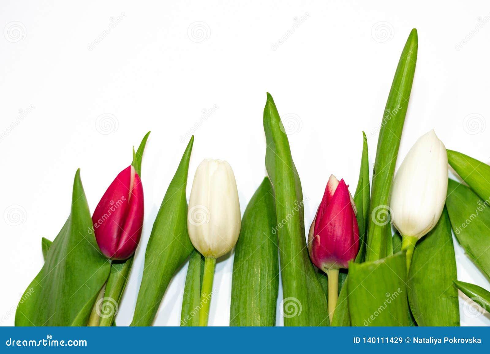 Primo piano rosso e insetto bianco del tulipano isolato su fondo bianco copi lo spazio, la disposizione del piano, vista superior