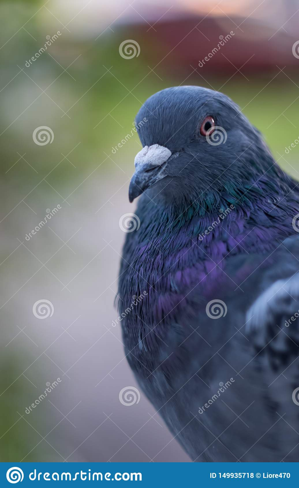 Primo piano selvaggio del piccione Atteggiamento e determinazione seri di emozione