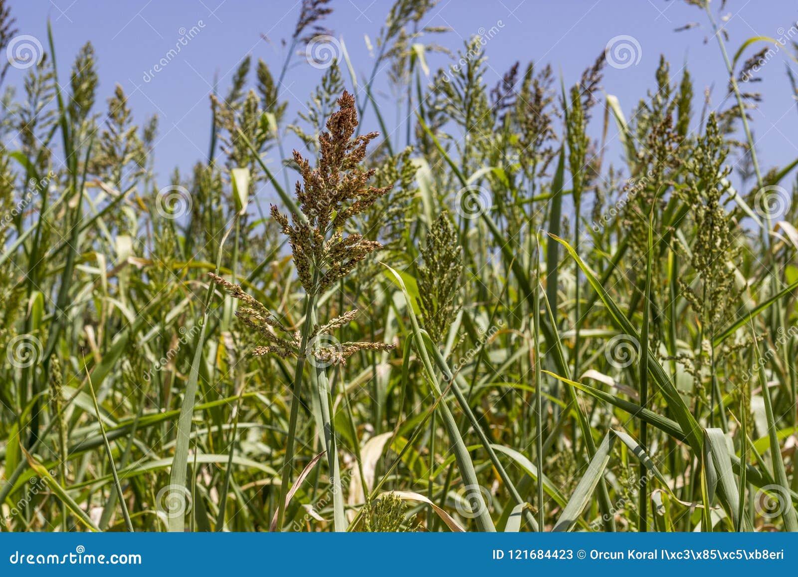 Primo piano sparato per la pianta della bacca di grano