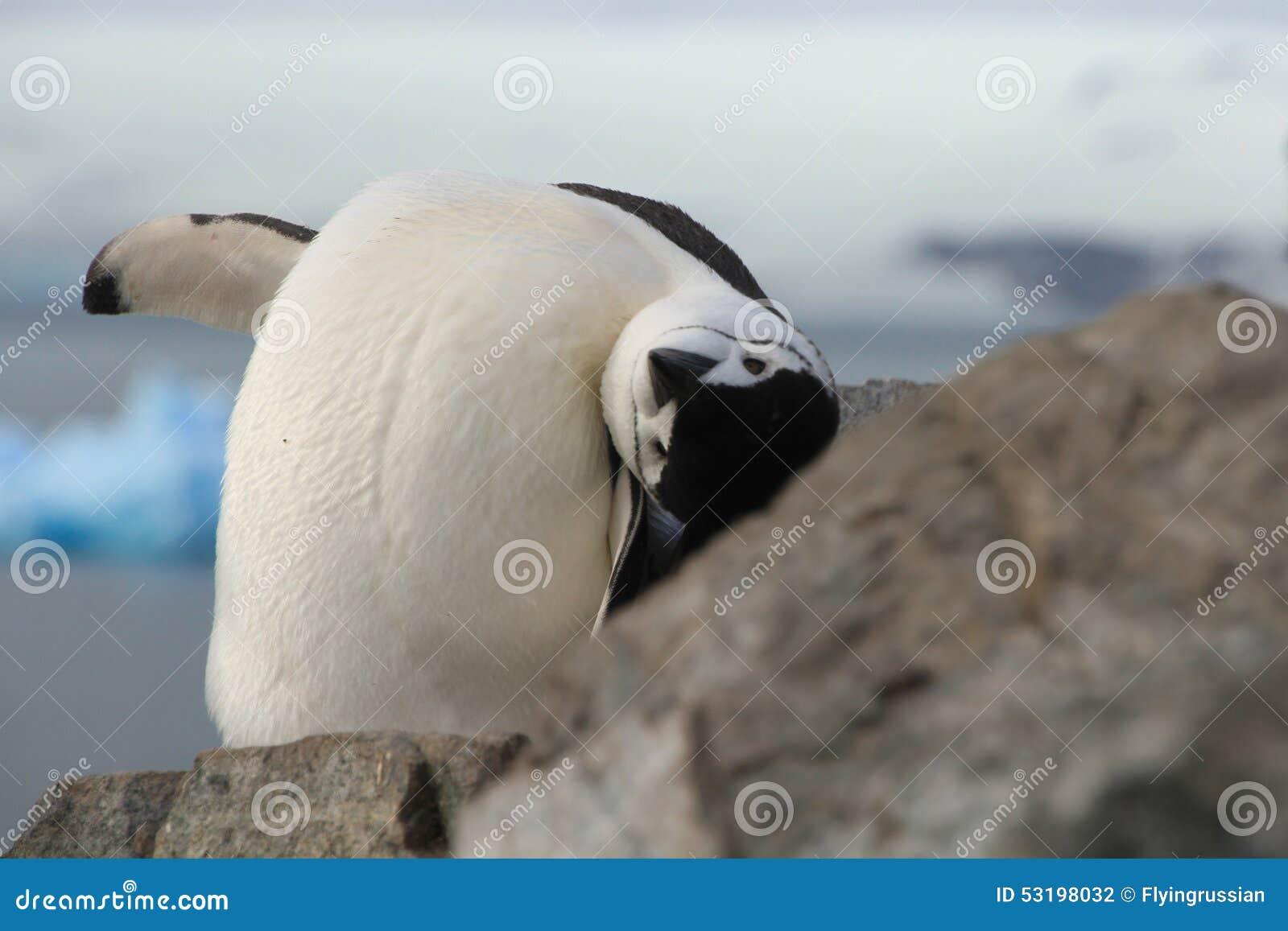 Primo piano sveglio del pinguino di sottogola (pygoscelis antarctica)