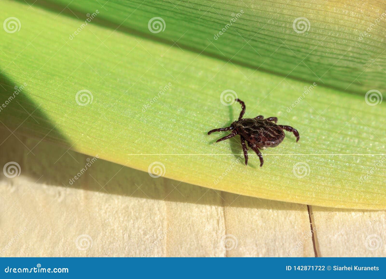 Primo piano Un acaro pericoloso del trasportatore di infezione e del parassita che si siede su una foglia verde