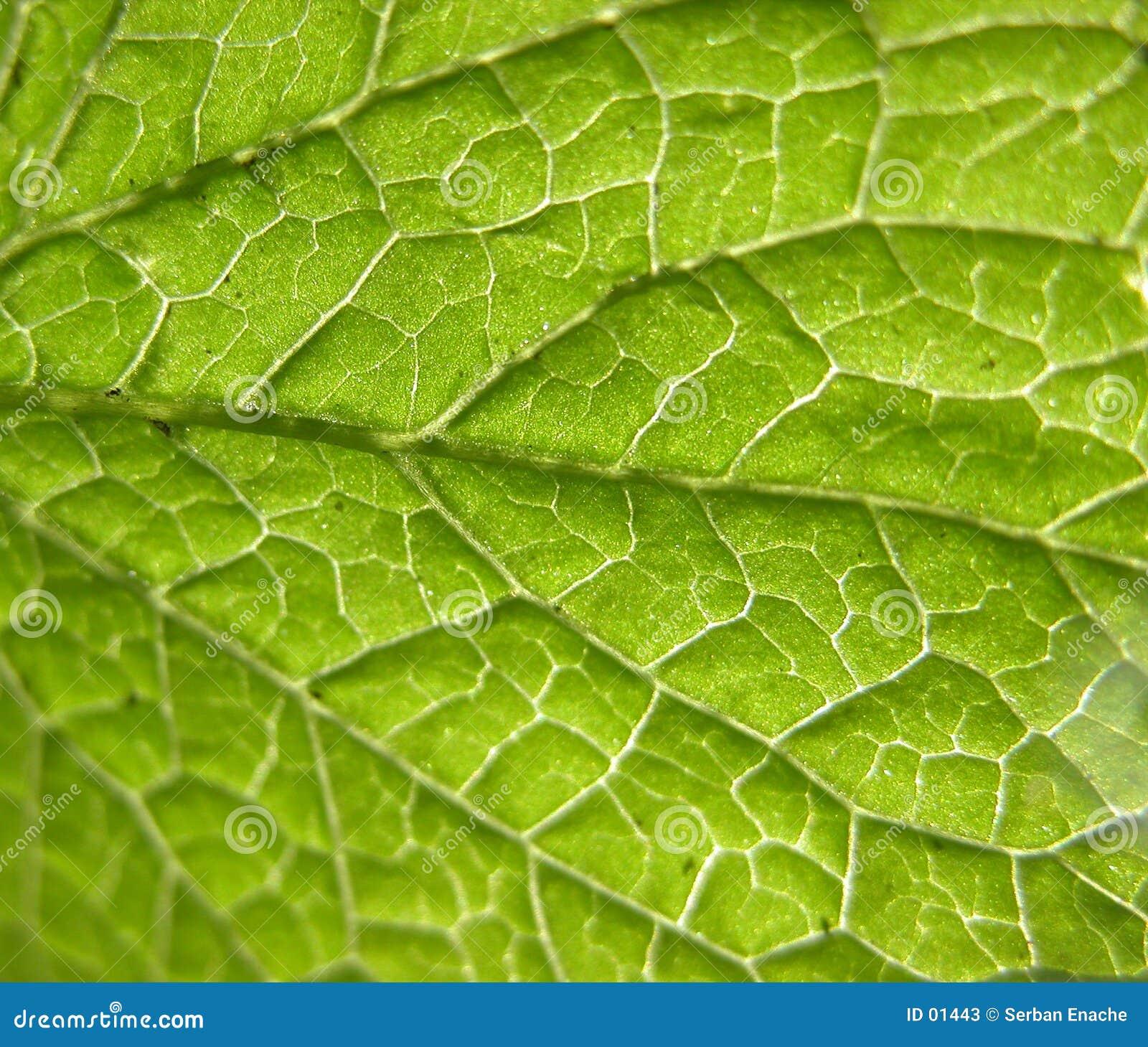Primo piano verde del foglio