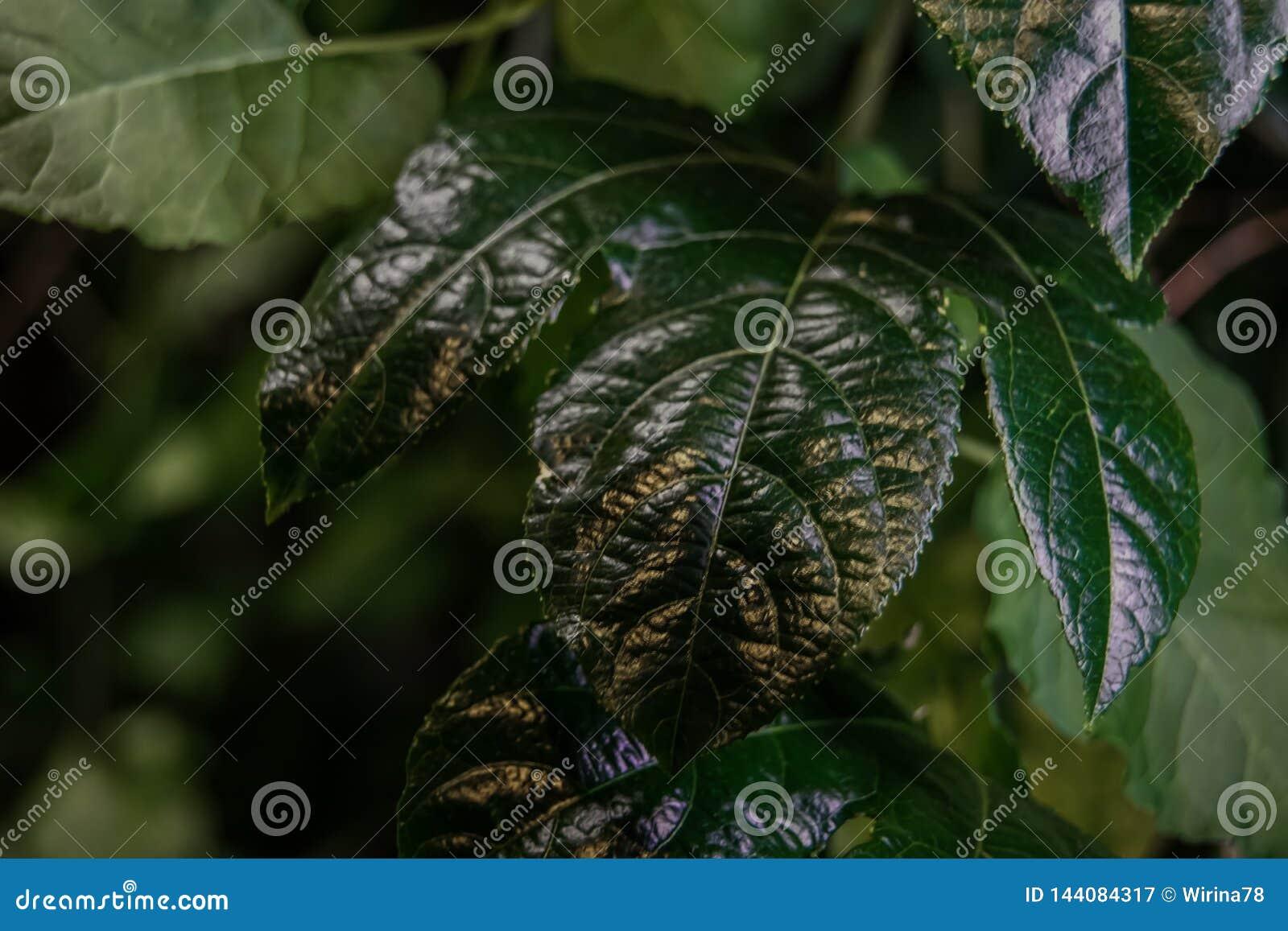 Primo piano verde del foglio Priorit? bassa verde scuro evergreen Conservi il concetto dell ecologia Fogliame dettagliato