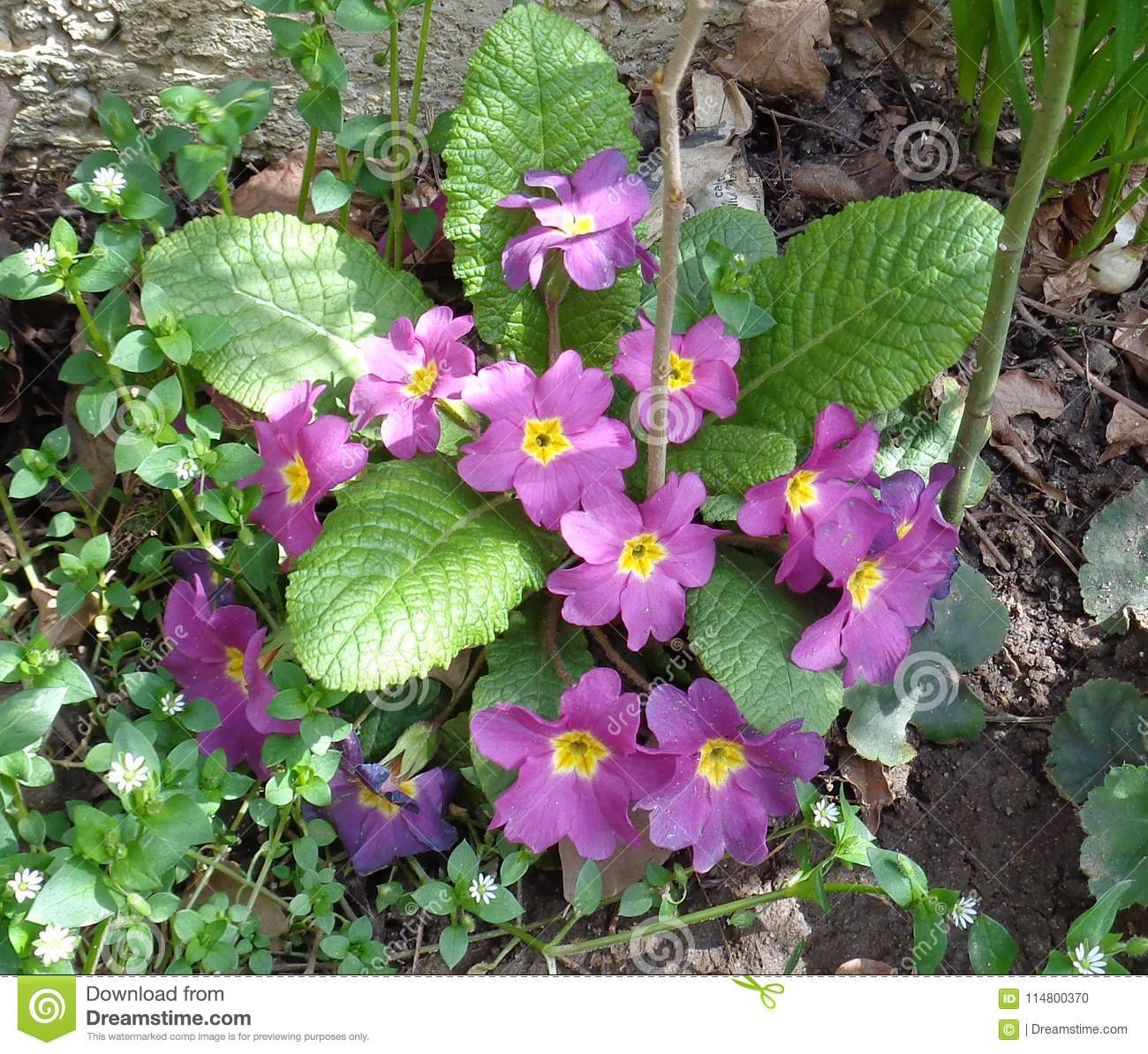 Primrose Announce The Coming Of Spring Stock Photo Image Of