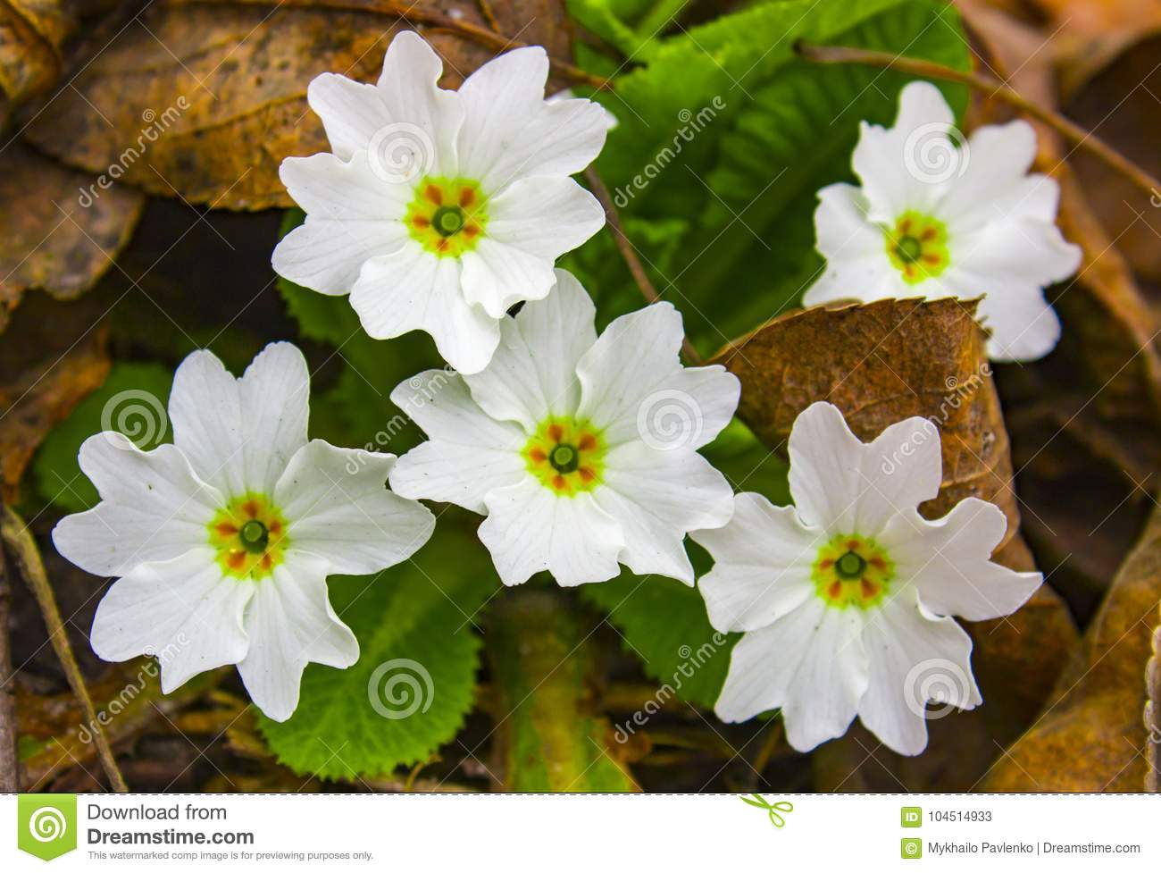 Primrose A Flower That Blooms In Early Spring And Has A Varied