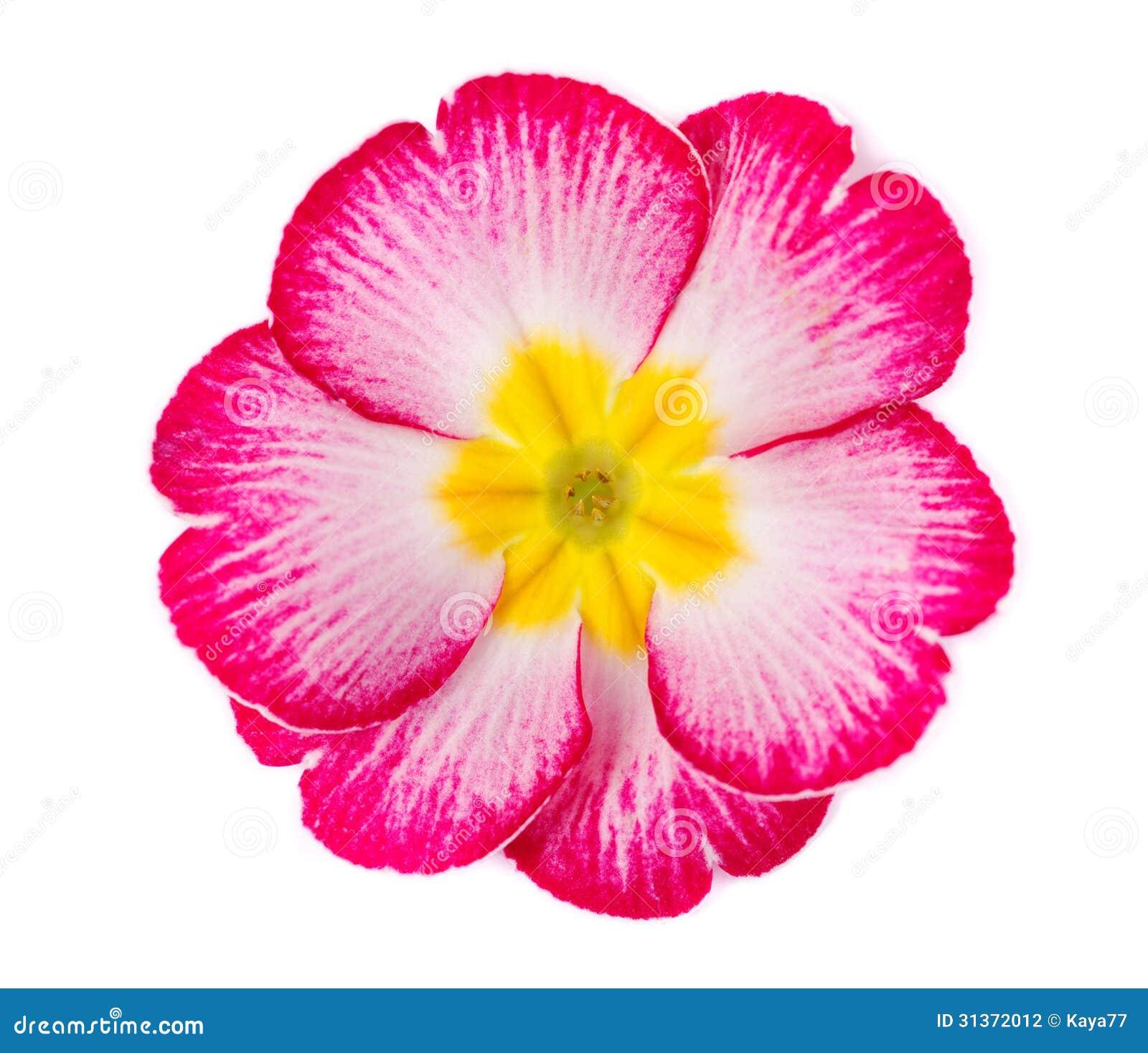 Primrose flower stock photo image of beauty botanic 31372012 primrose flower mightylinksfo