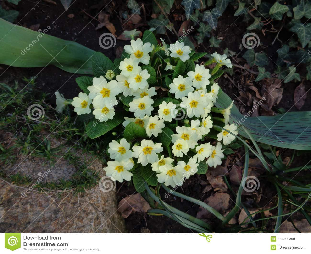Primrose Announce The Coming Of Spring Stock Photo Image Of Plants