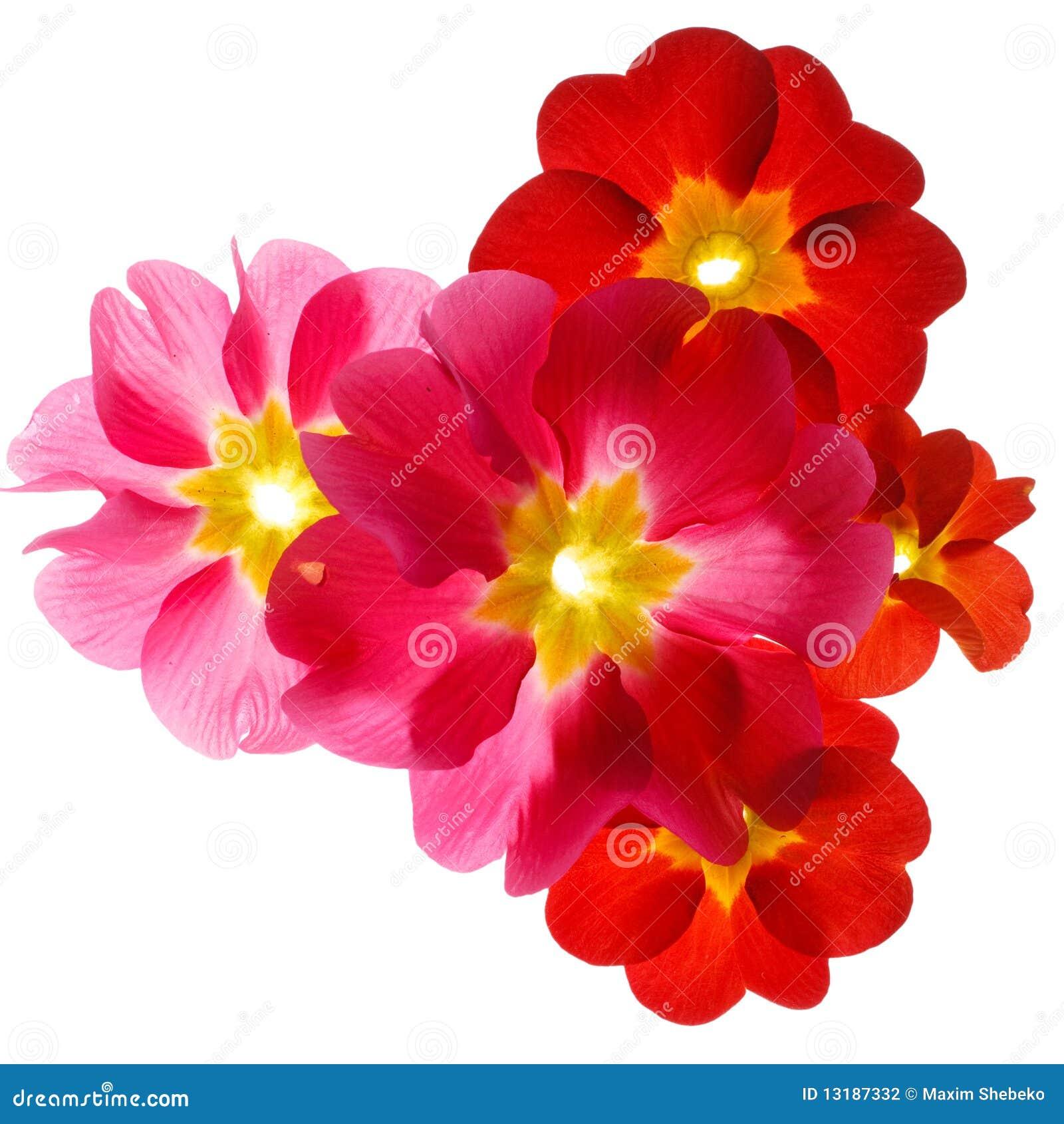 Primula λουλουδιών