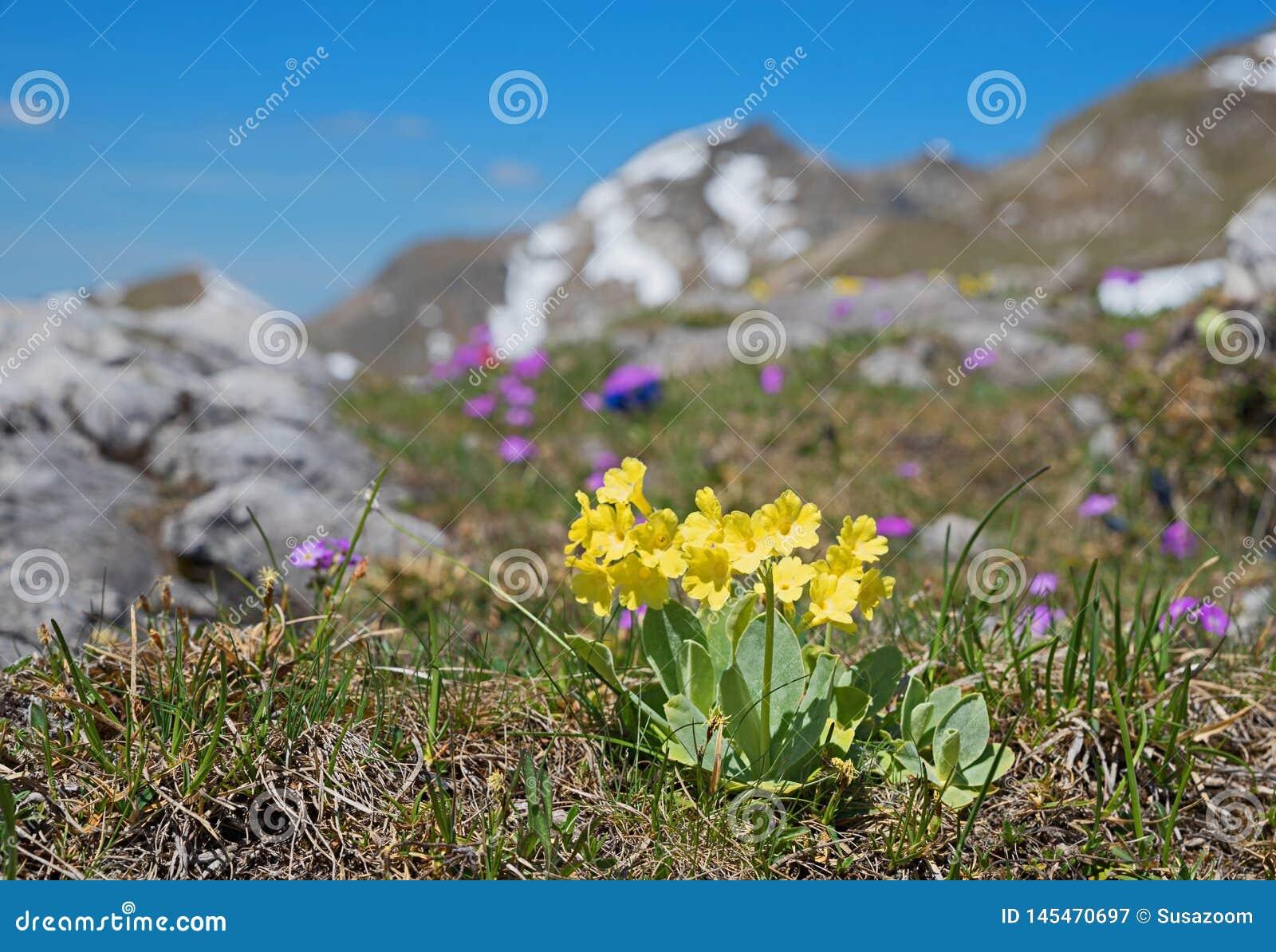 Primula auricula - niedźwiedzia uszaty wildflower, ochraniający