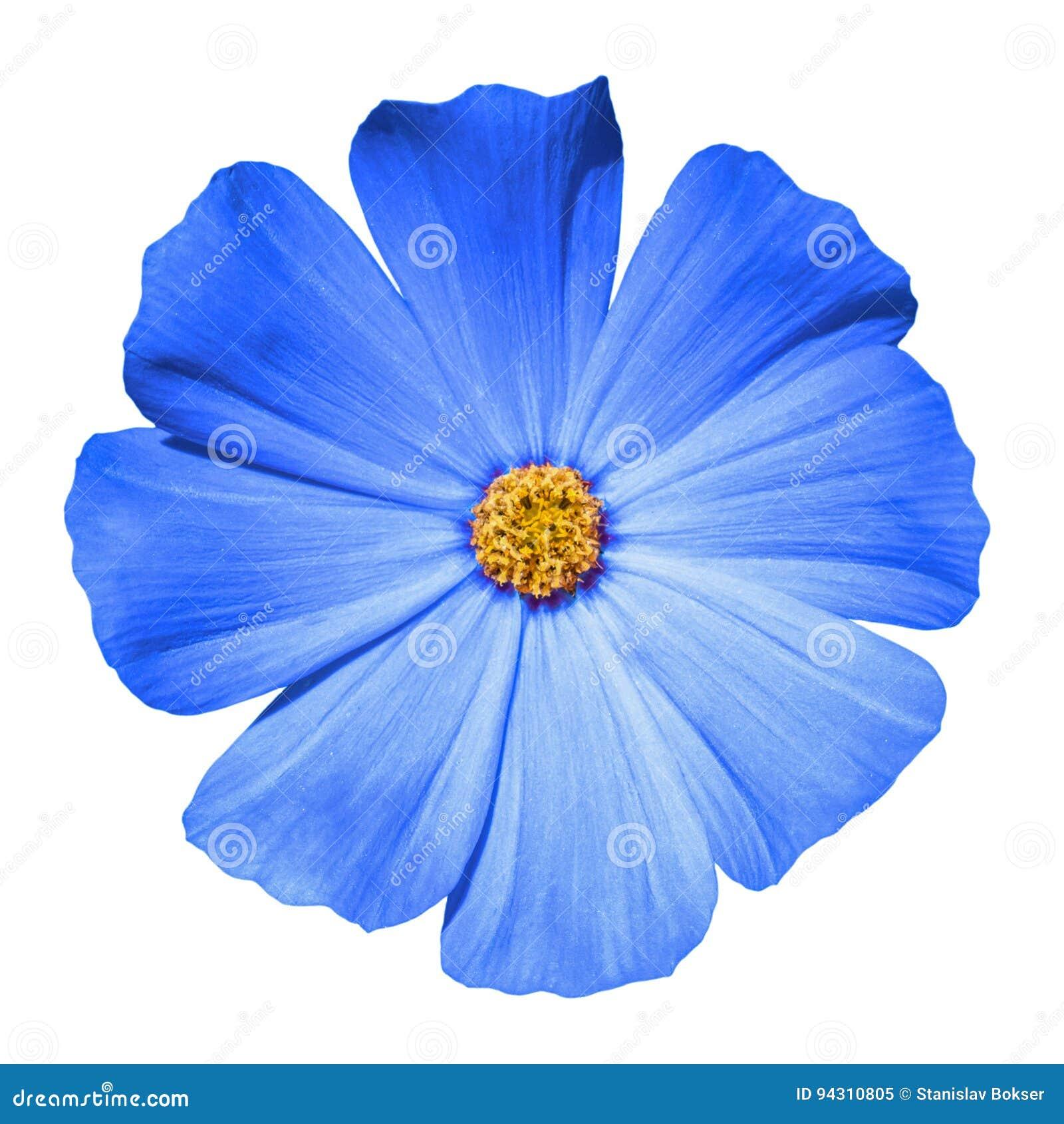 Primula blu del fiore isolata