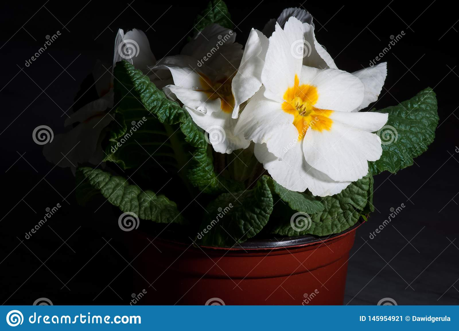 Primula lub pierwiosnkowy kwiat z wodnymi kroplami, makro-