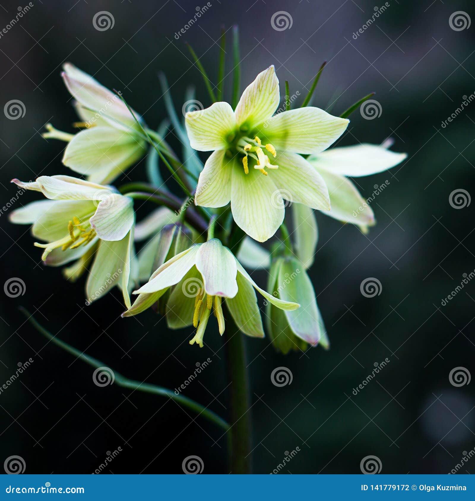 Primula på en mörk bakgrund dagblomman rymmer den små fjädern för sonen för moderparklukter som Daylilies