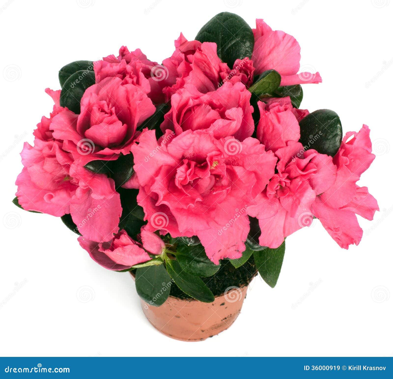 Primula rosa in vaso da fiori immagine stock immagine - Fiori da vaso perenni ...