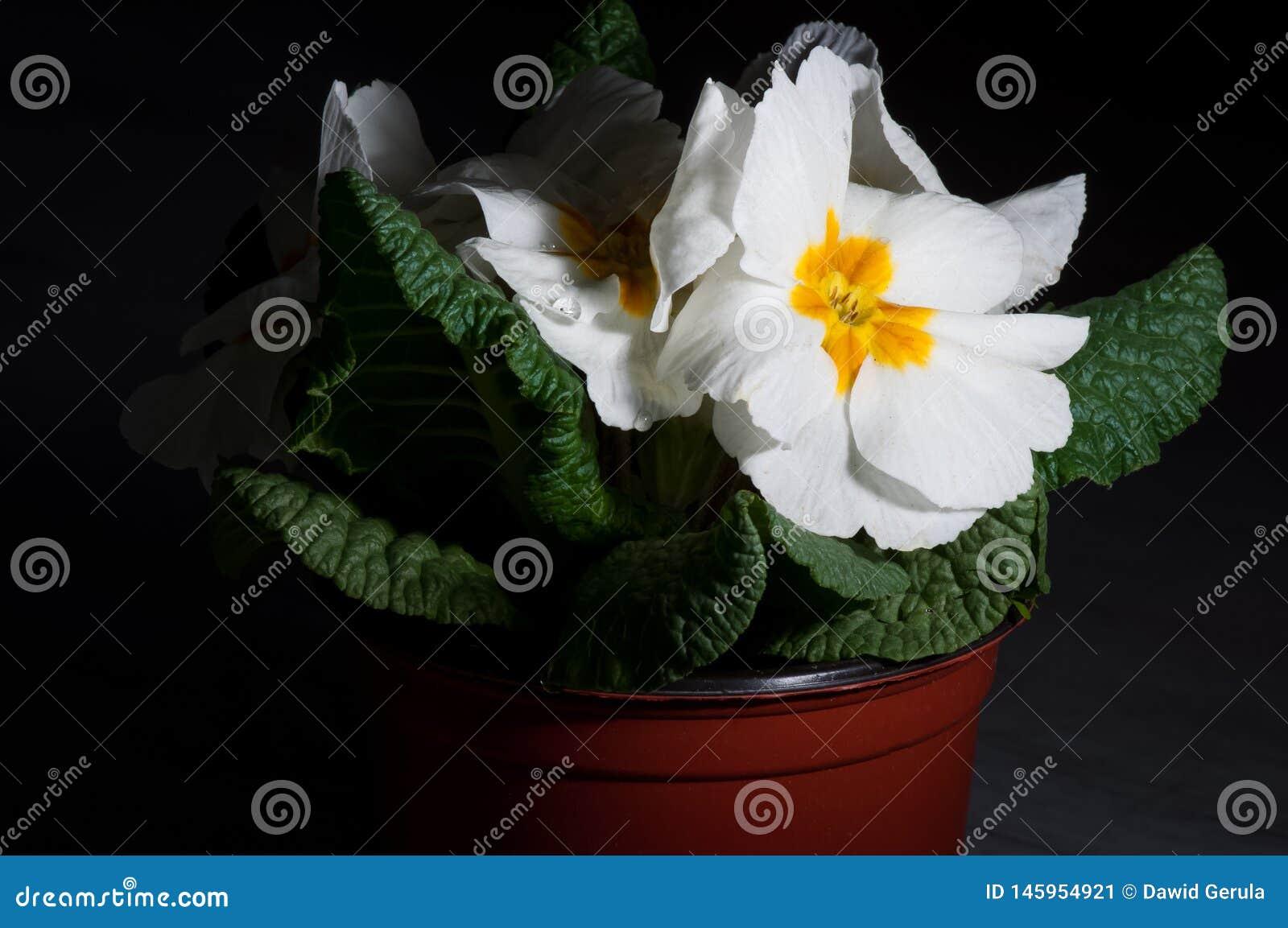 Primula, of sleutelbloembloei met waterdalingen, macro