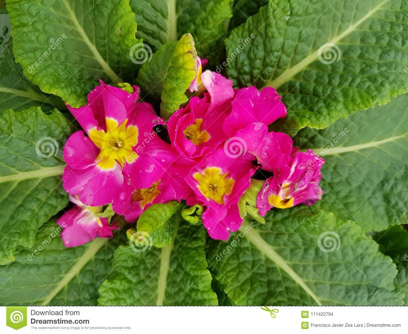 Primula With Small Pink Flowers In The Center Of The Green Leaves