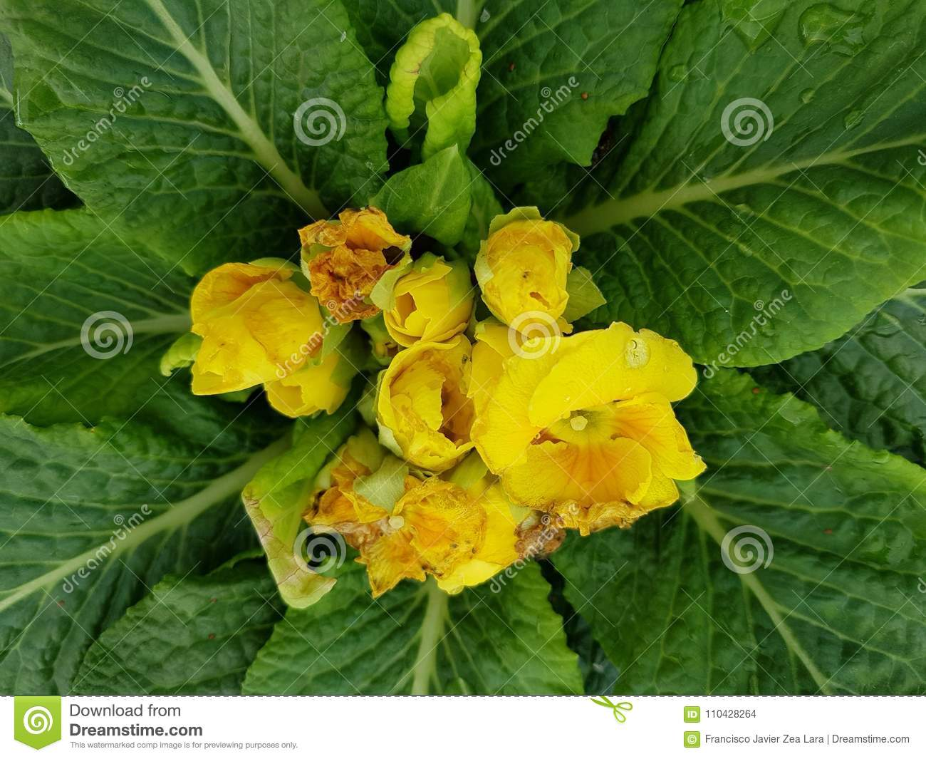 Primula With Small Yellow Flowers In The Center Of The Green Leaves