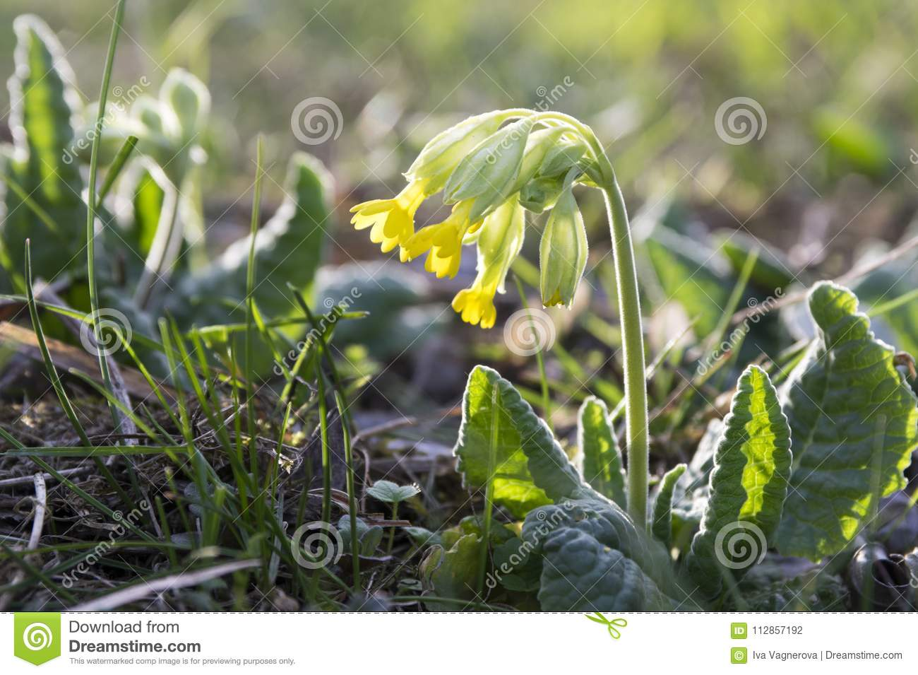 Primula Veris Common Cowslip In Bloom Early Yellow Spring Flower