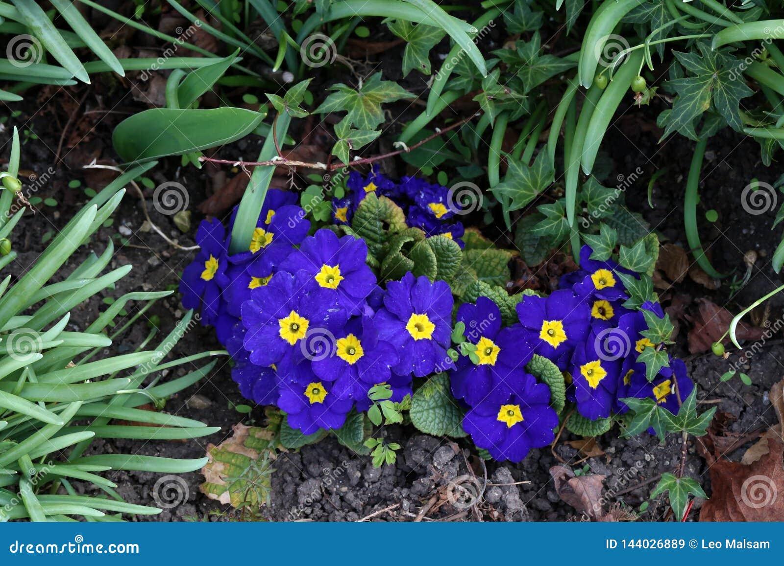 PrimulaBunch晚樱草植物樱草属寻常的紫色第一朵春天花