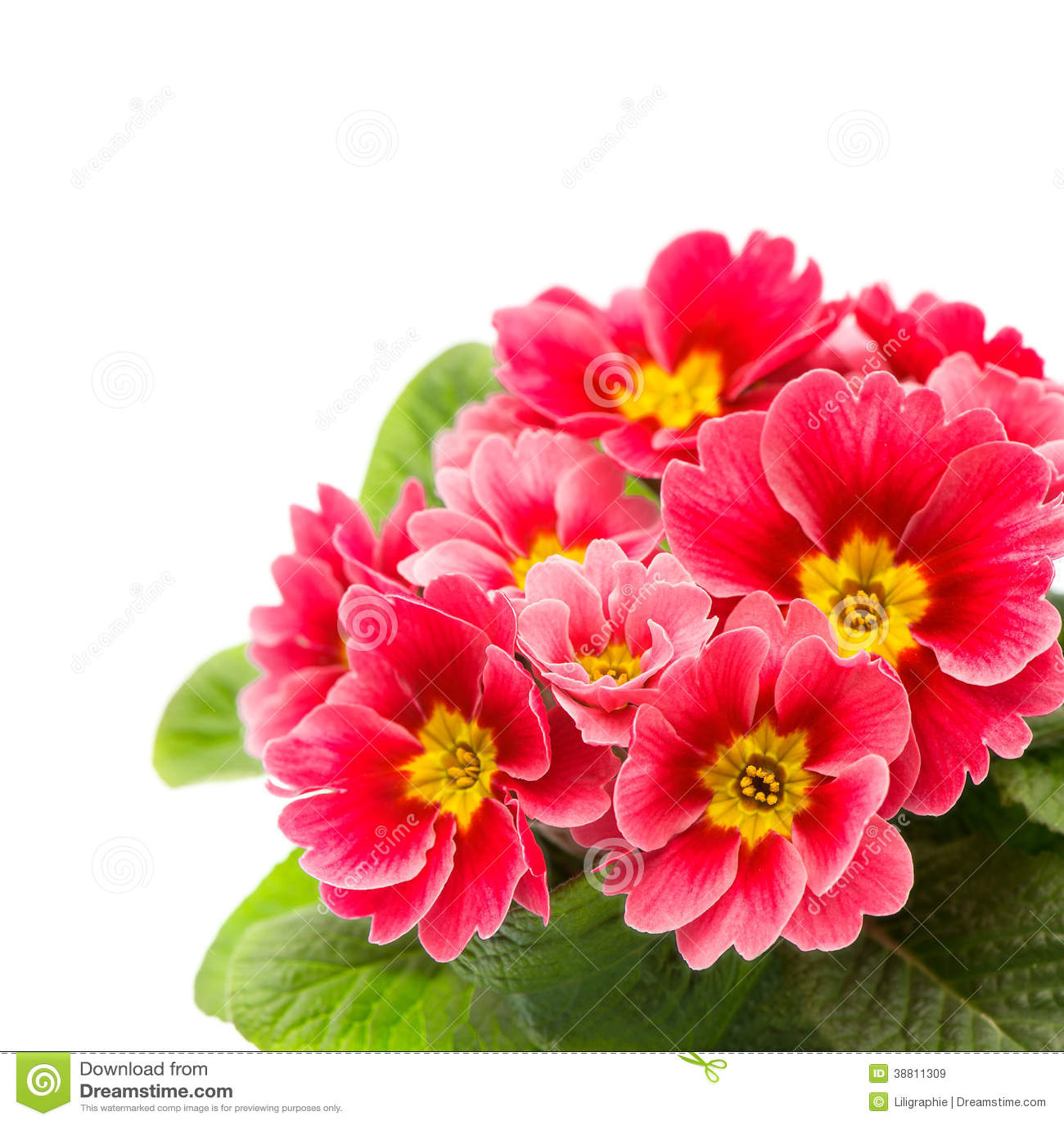 Primule rosa isolate su fondo bianco fotografia stock for Primule immagini