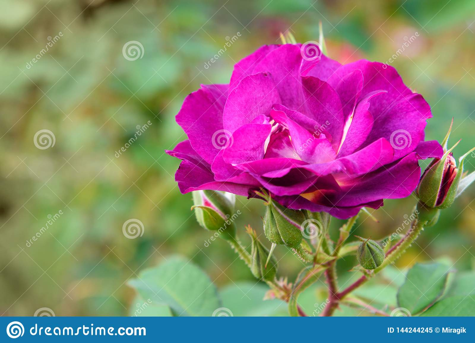 Princess Sibilla de Luxembourg rose in garden