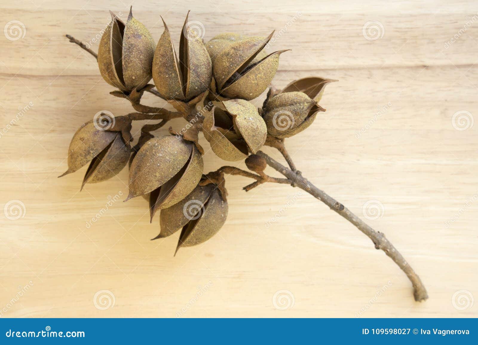 Princesstree, dedalera, árbol de la emperatriz, kiri, fruta del tomentosa del paulownia, cápsulas oviformes con las semillas