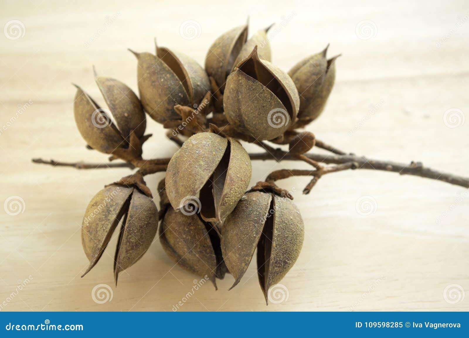 Princesstree, digital, árvore da imperatriz, kiri, fruto do tomentosa do paulownia, cápsulas ovais com sementes