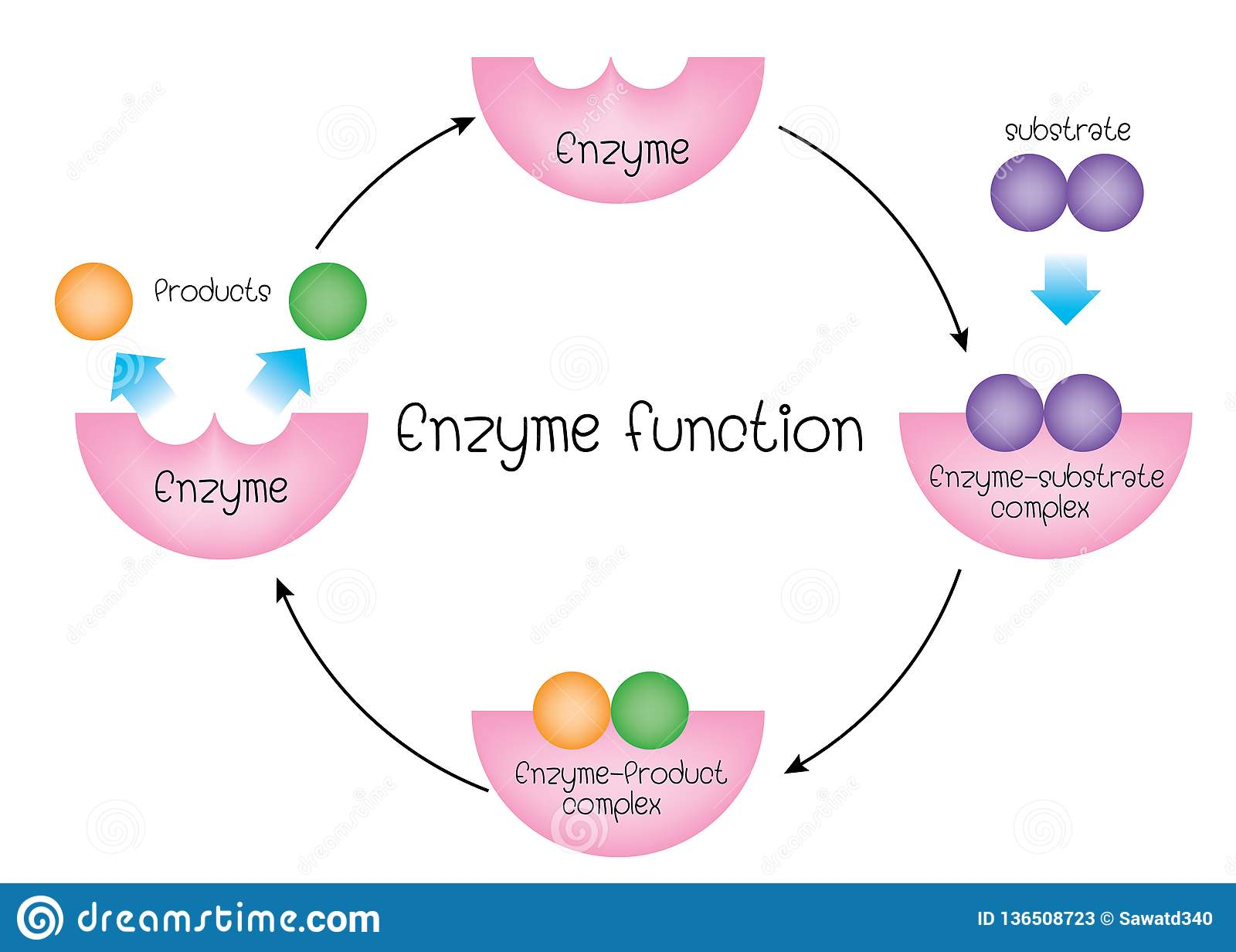 Structure And Function Of An Enzyme Wiring Diagram
