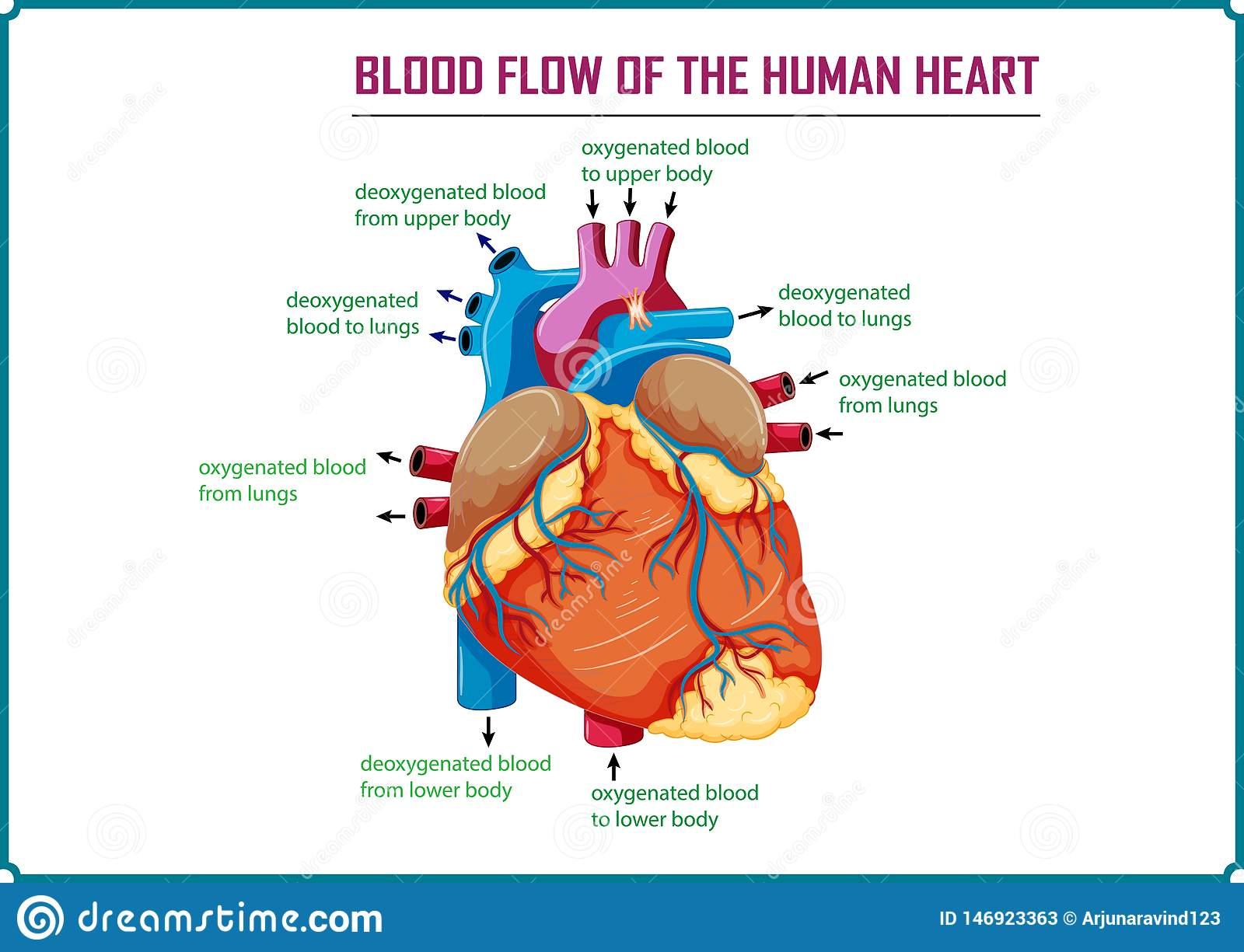Blood Flow Of The Human Heart Stock Illustration