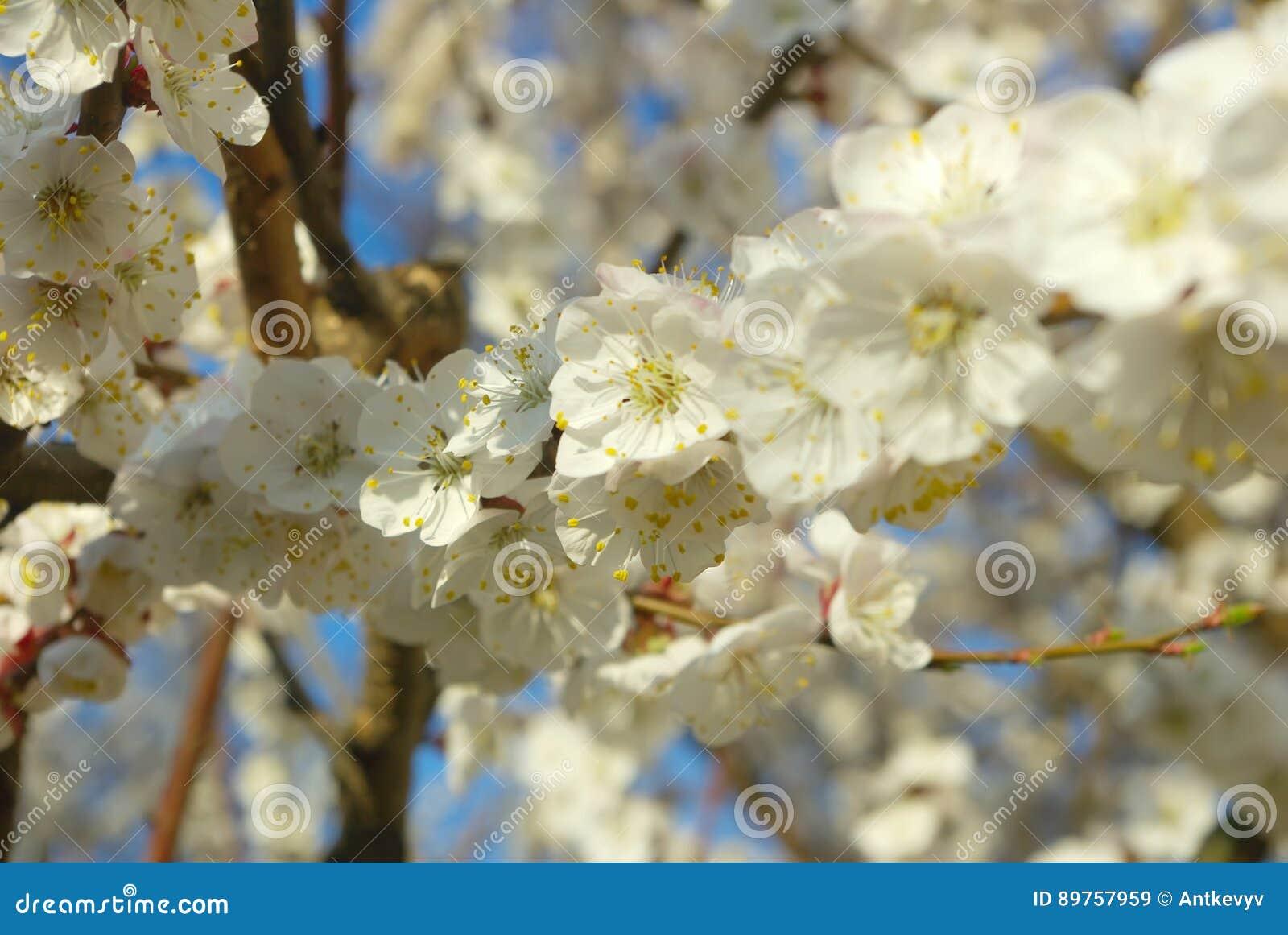 printemps se développant saisonnier d'arbre fleur de blanc de