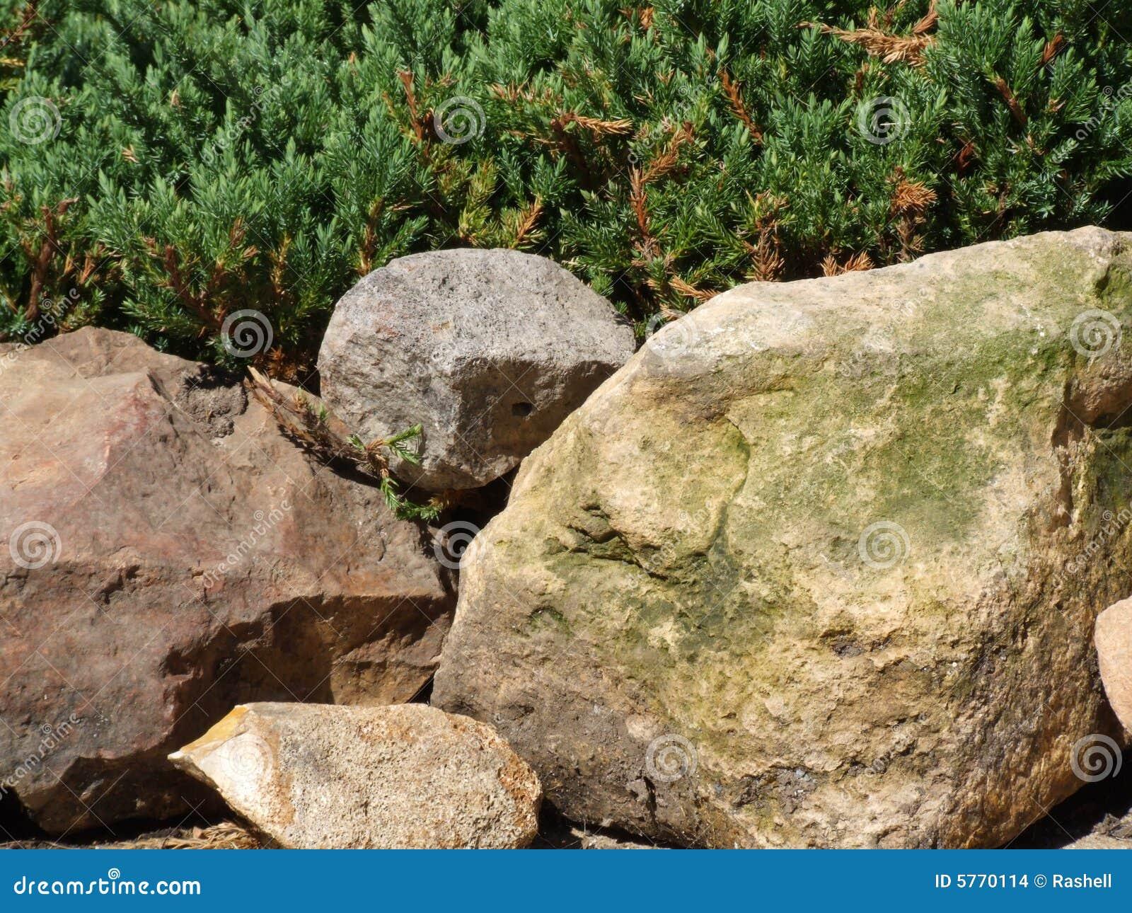 Priorità bassa del evergreen e della roccia coperta muschio