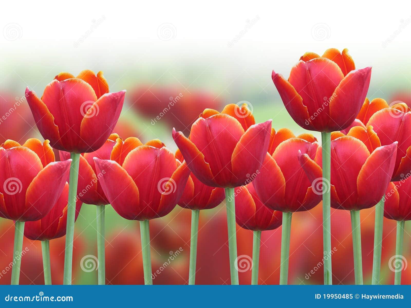 Priorità bassa del fiore del tulipano della sorgente