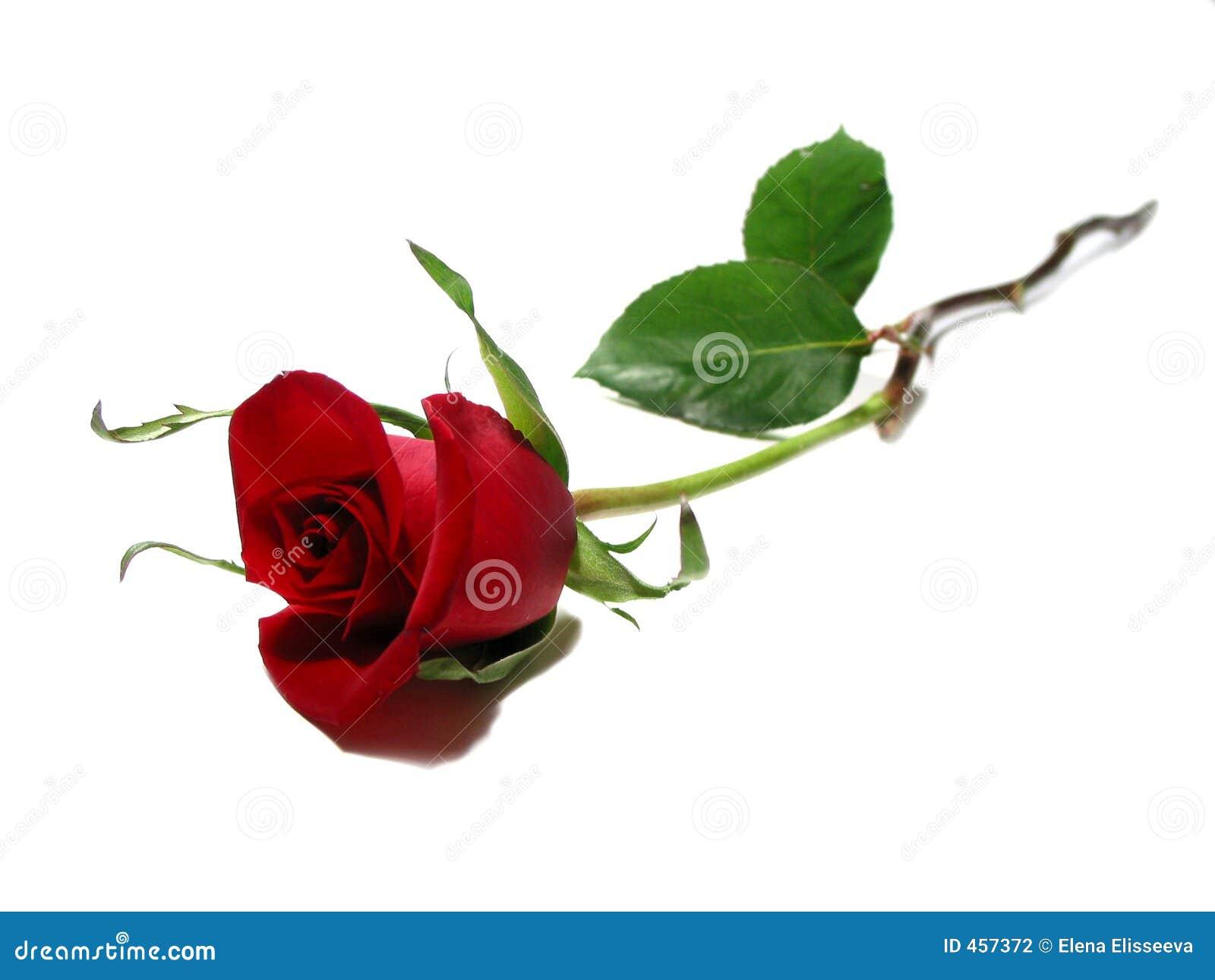 Priorità bassa di bianco della rosa di colore rosso