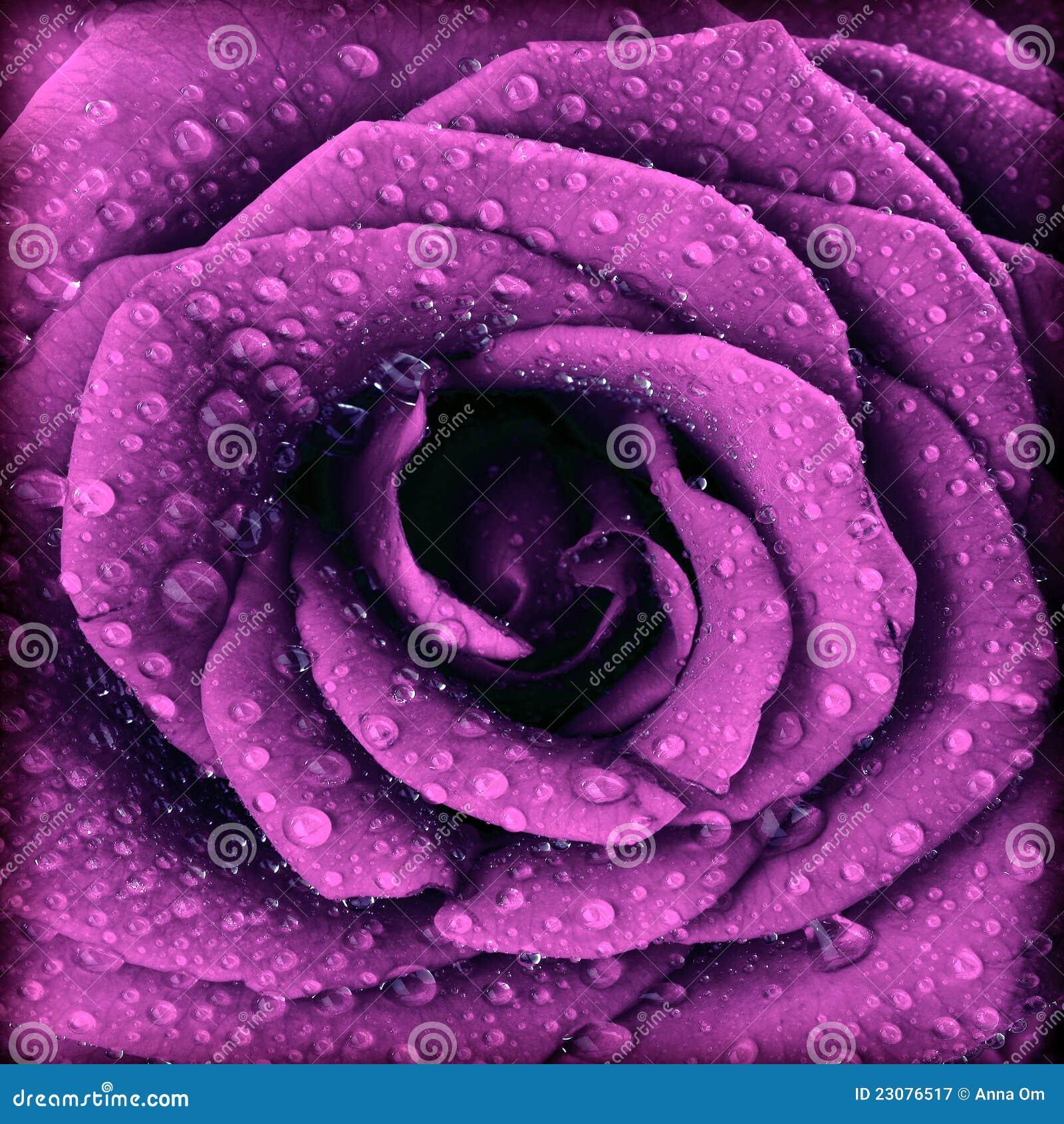Priorità bassa di rosa di oscurità viola
