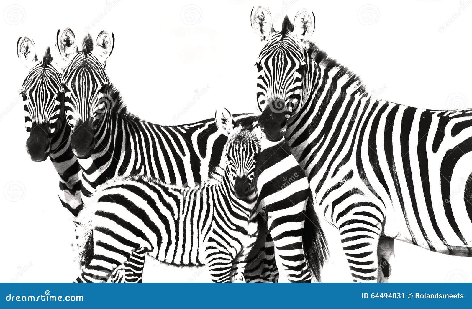 Priorità bassa a strisce di Grunge della zebra