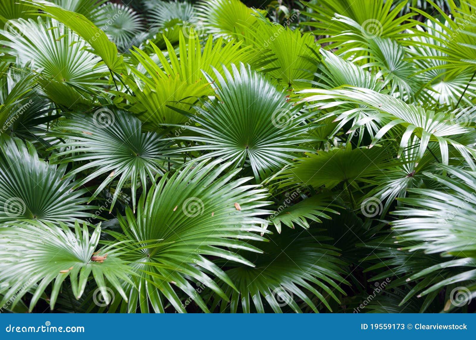 Priorità bassa tropicale della palma della foresta pluviale