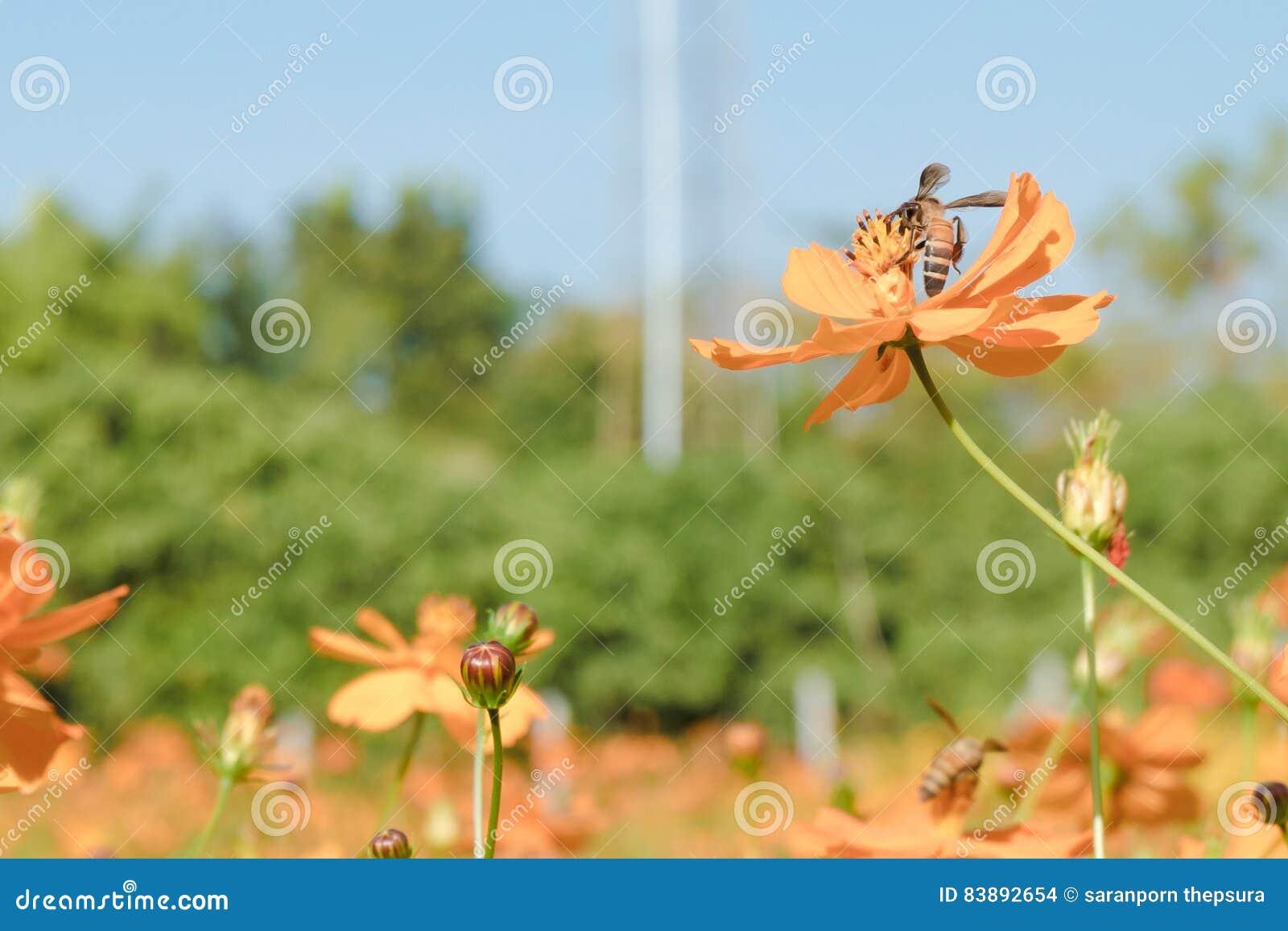 Proceskleur, Bij in bloem het verbazen, honingbij van orang-oetan wordt bestoven die