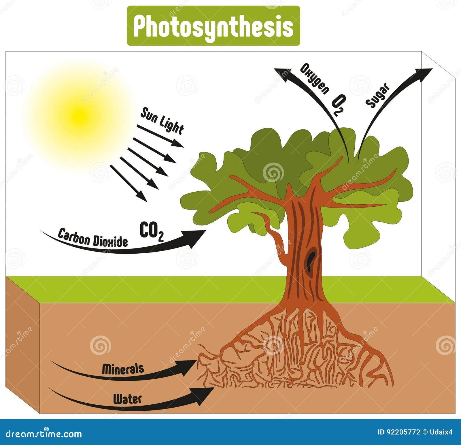 Proceso De La Fotosíntesis En Diagrama De La Planta Ilustración del ...