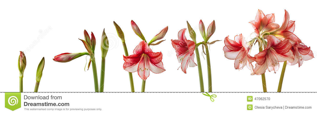The process of blooming flower hippeastrum isolated
