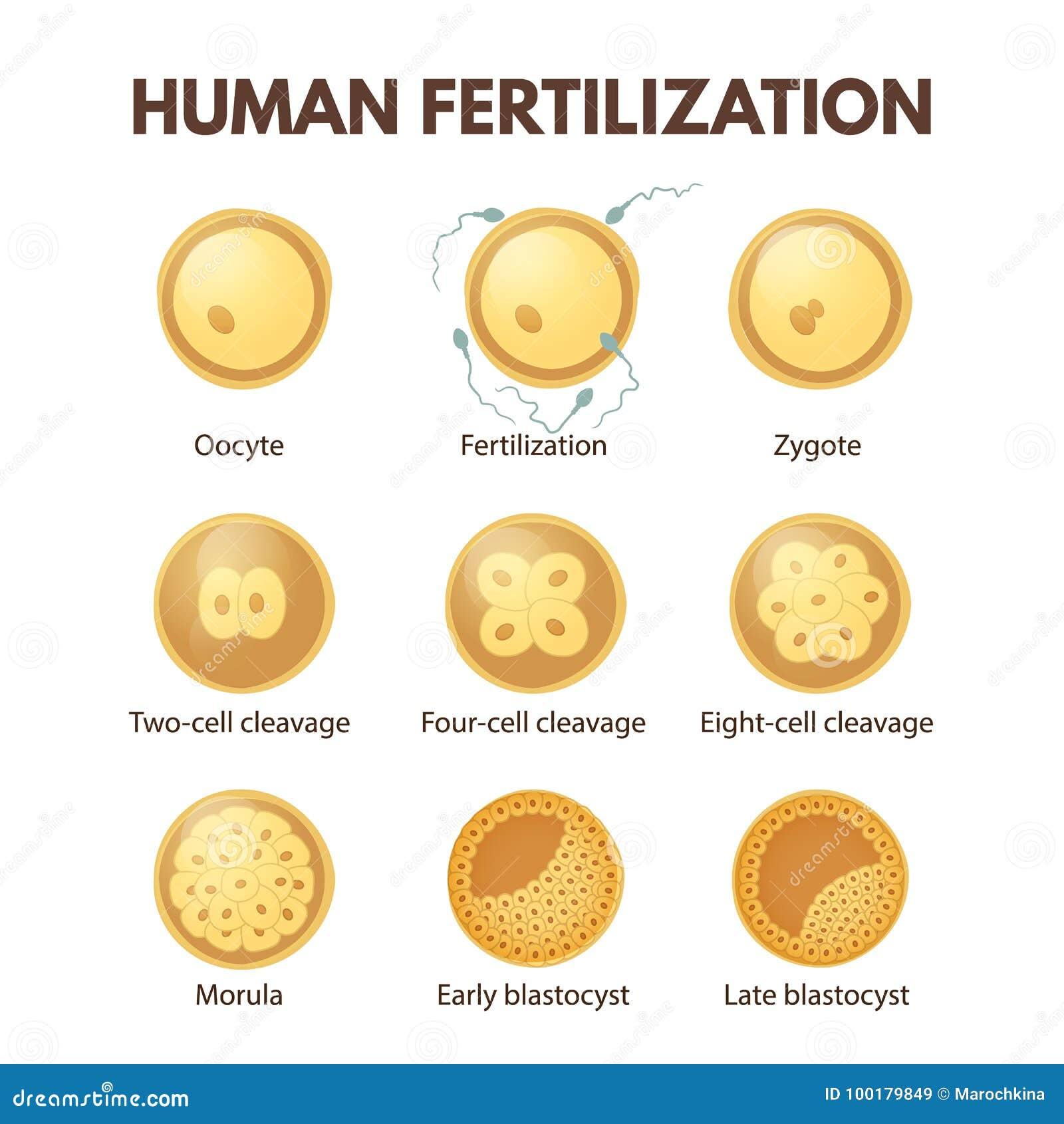 Human Fertilization Stock Vector Illustration Of Fetus 100179849