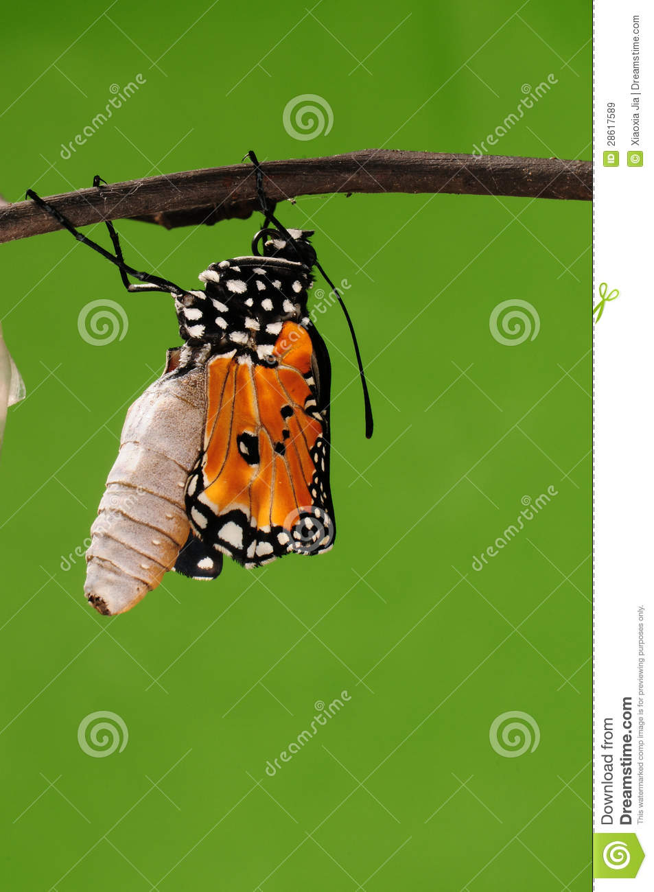 Process Of Eclosion(10/13 ) The Butterfly Try To Drill Out Of Cocoon ...