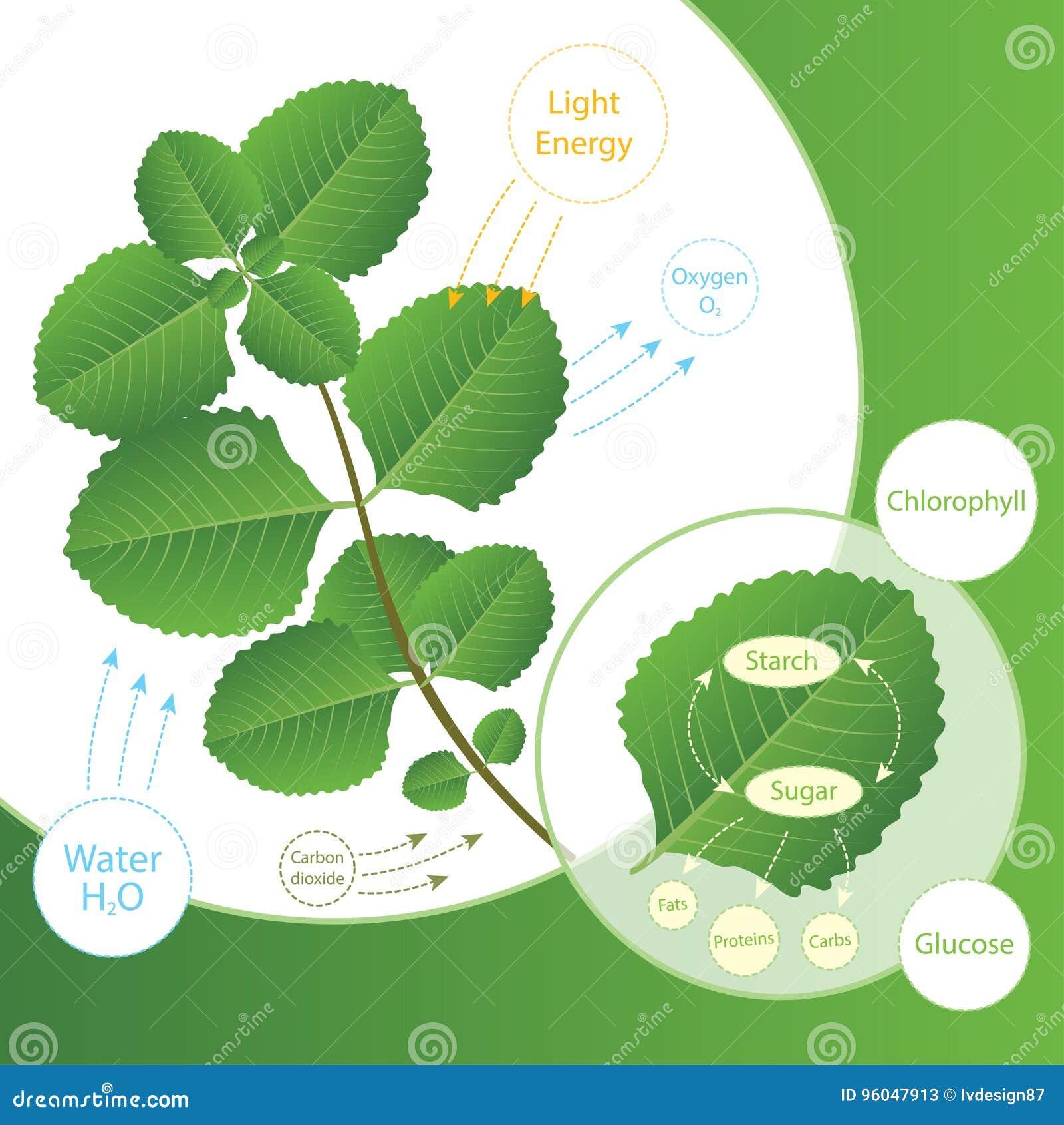 Processo da fotossíntese na planta As plantas fazem o alimento usando a luz solar Esquema da biologia da fotossíntese para a educ