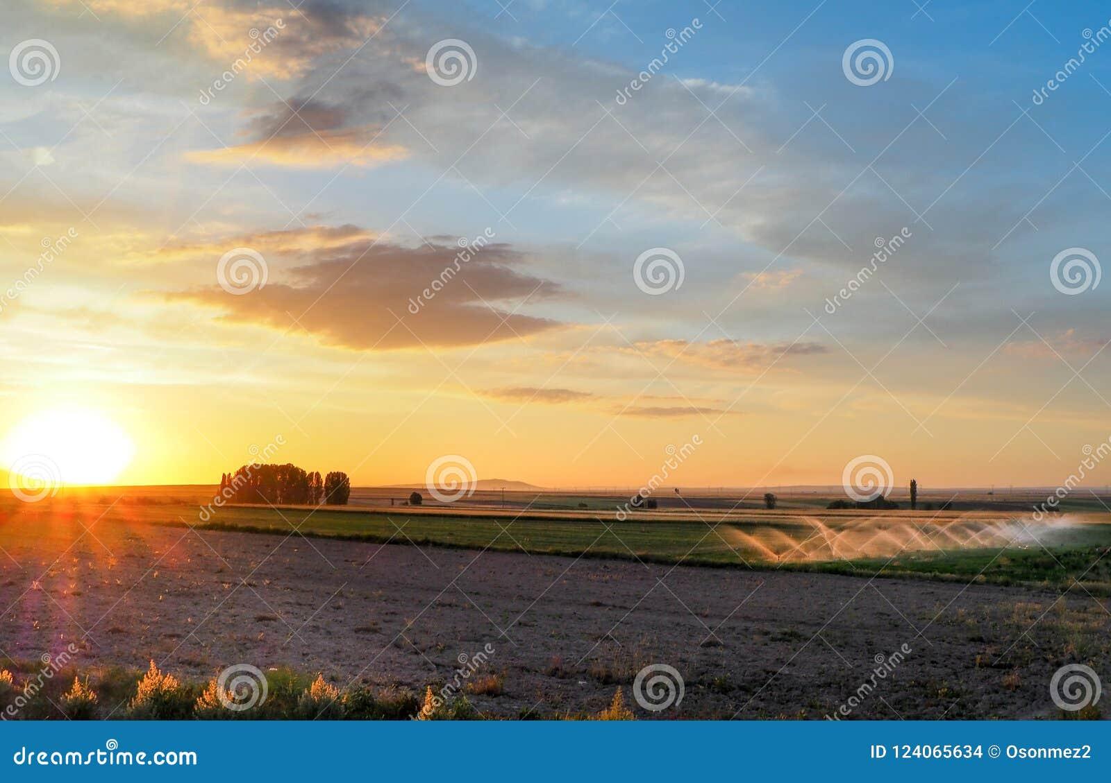 Processus de arrosage dans le domaine au coucher du soleil irrigation des cultures cultivées dans le domaine