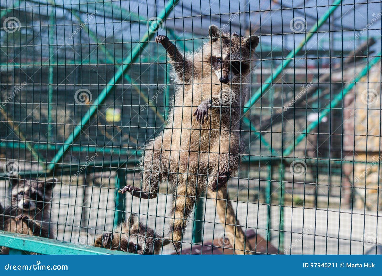 Procione che appende sulla gabbia in zoo