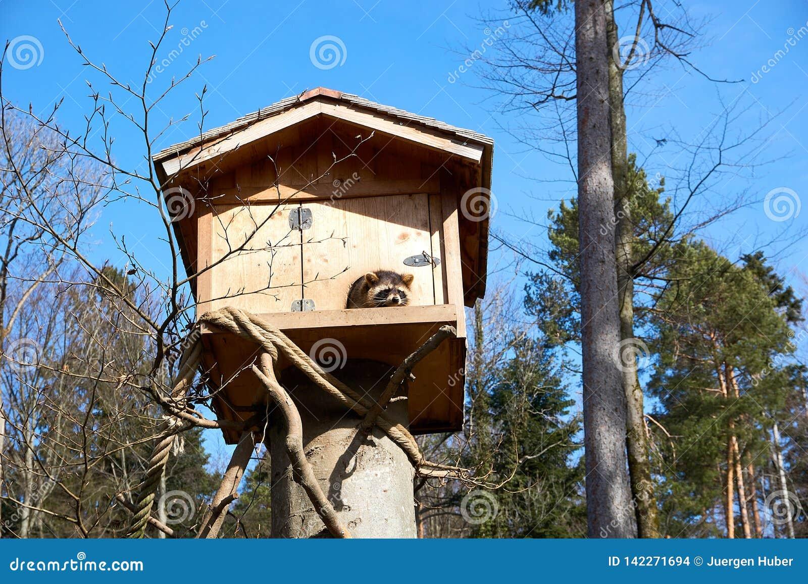 Procione lavatore nella sua casa di legno in Europa