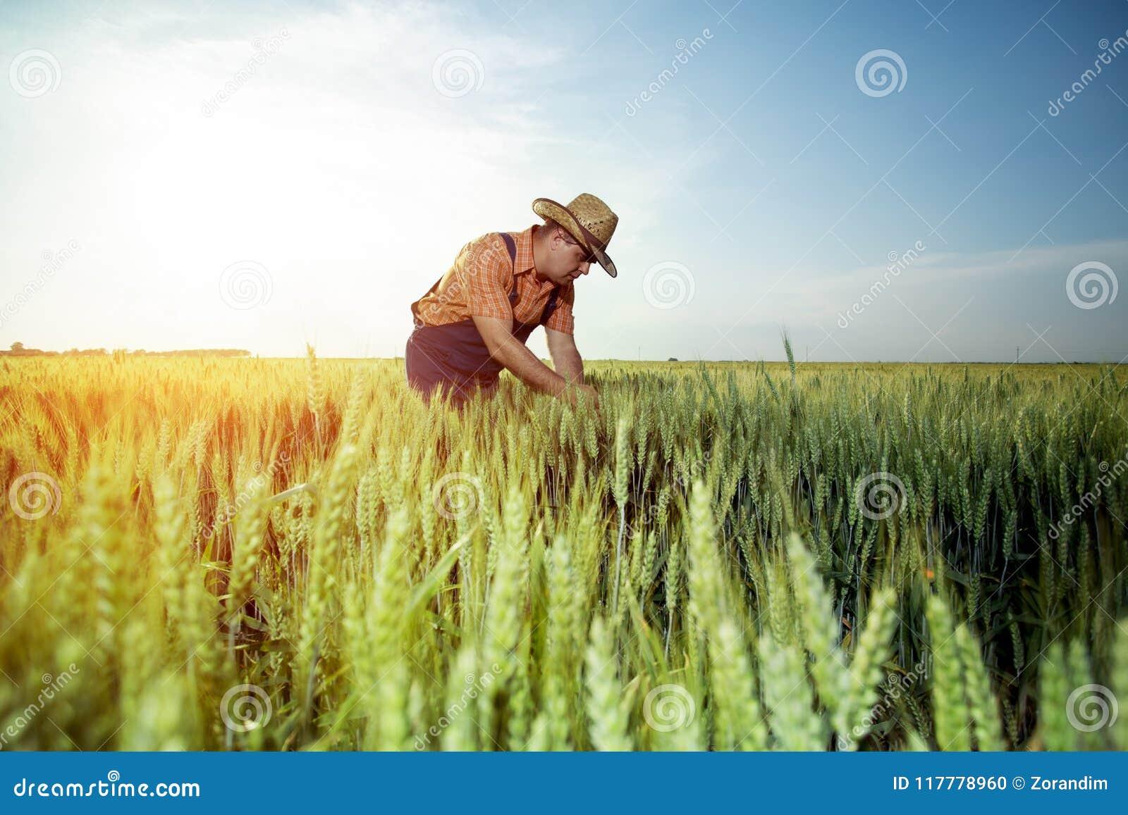 Producteur vérifiant la qualité du blé avec la loupe