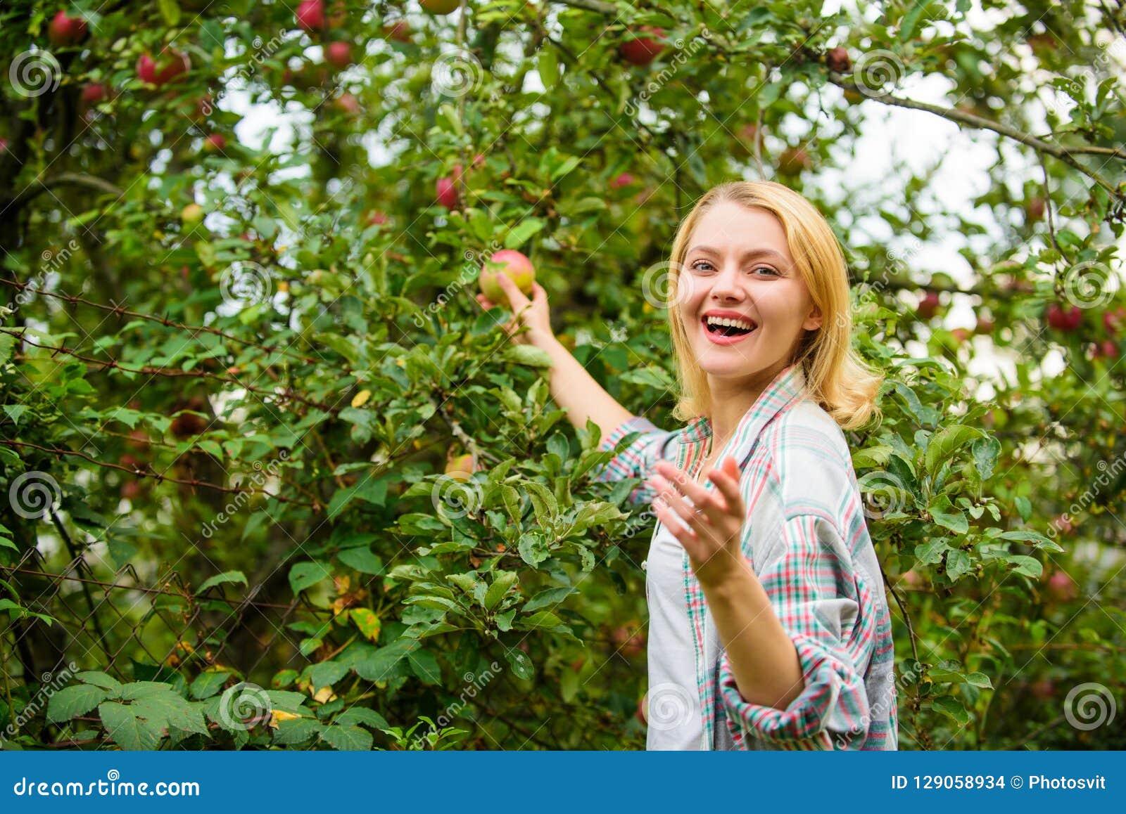 Produit naturel organique de produits agricoles Les pommes rustiques de rassemblement de style de fille moissonnent le jour d aut
