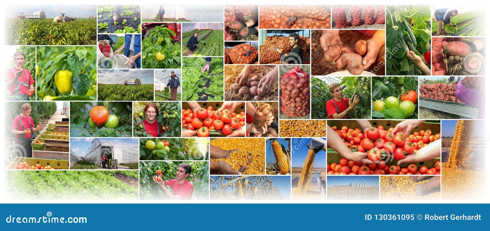 Produzione alimentare - coltivando - collage di agricoltura